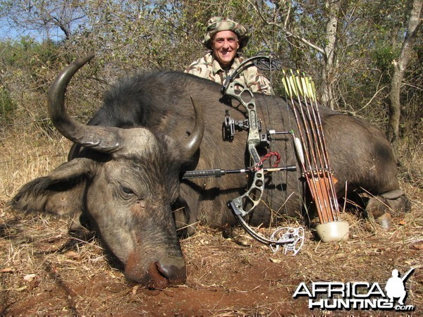 A female cape buffalo with a single arrow