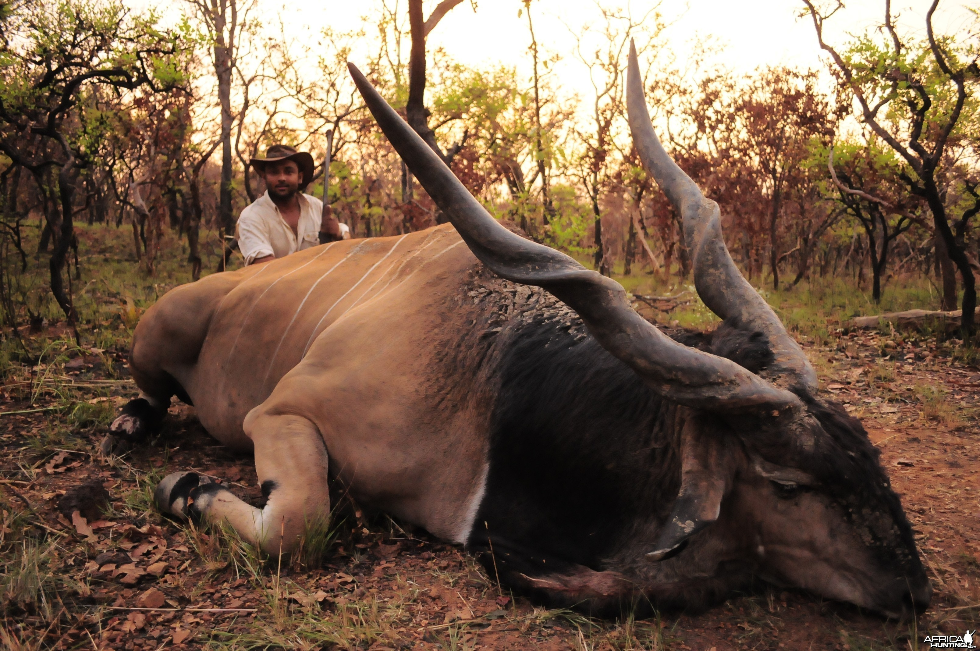 Huge Body and 53 inch Lord Derby Eland