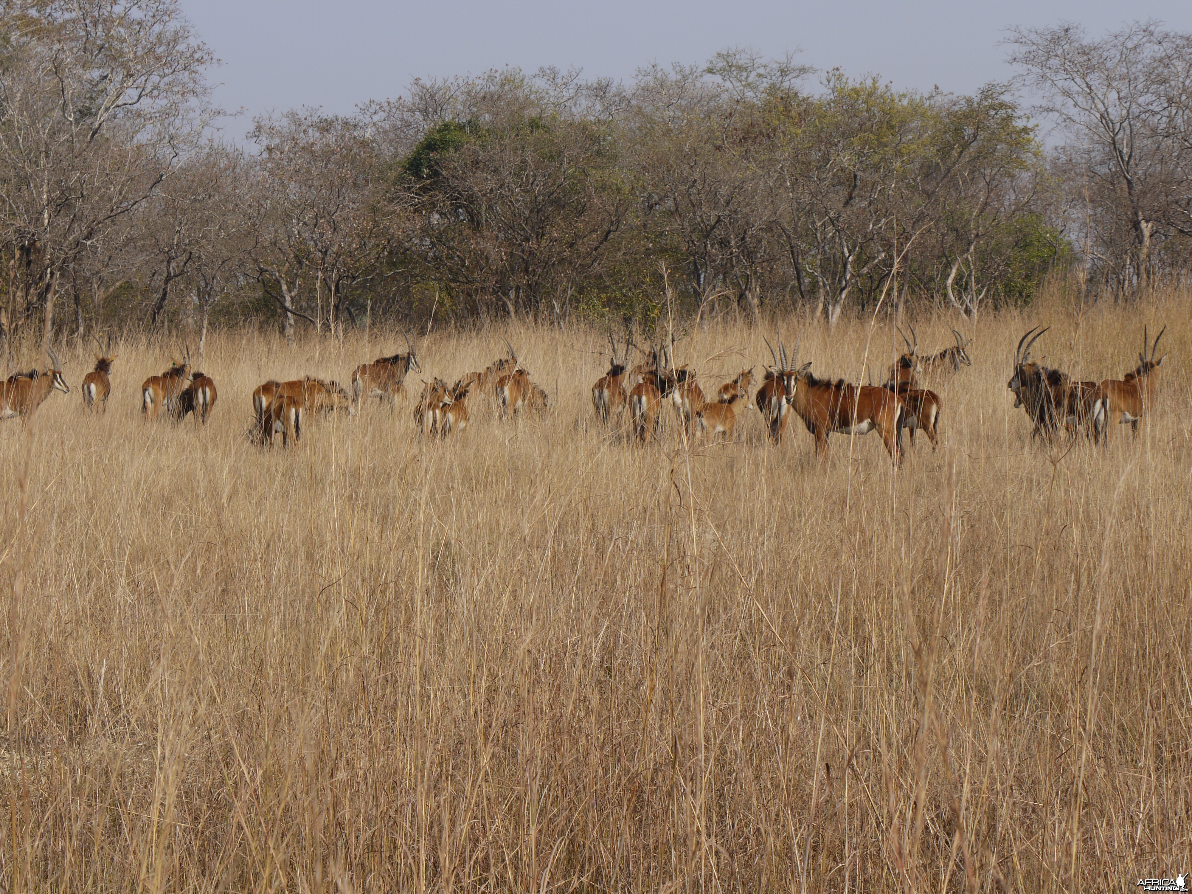 sable, zambia, takeri august 2012