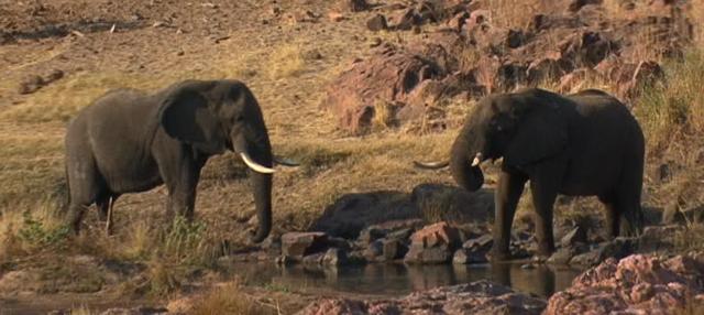 Big Elephant Bulls