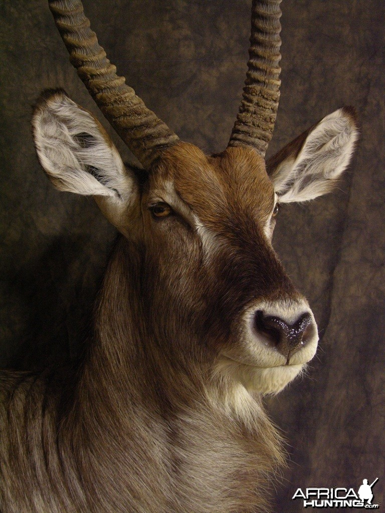 Waterbuck mount