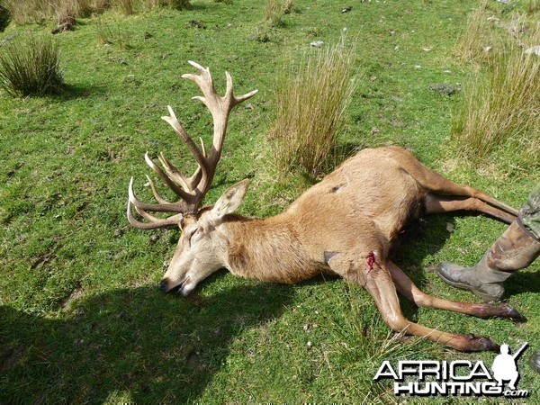 red deer stag my wife shot in new zealand