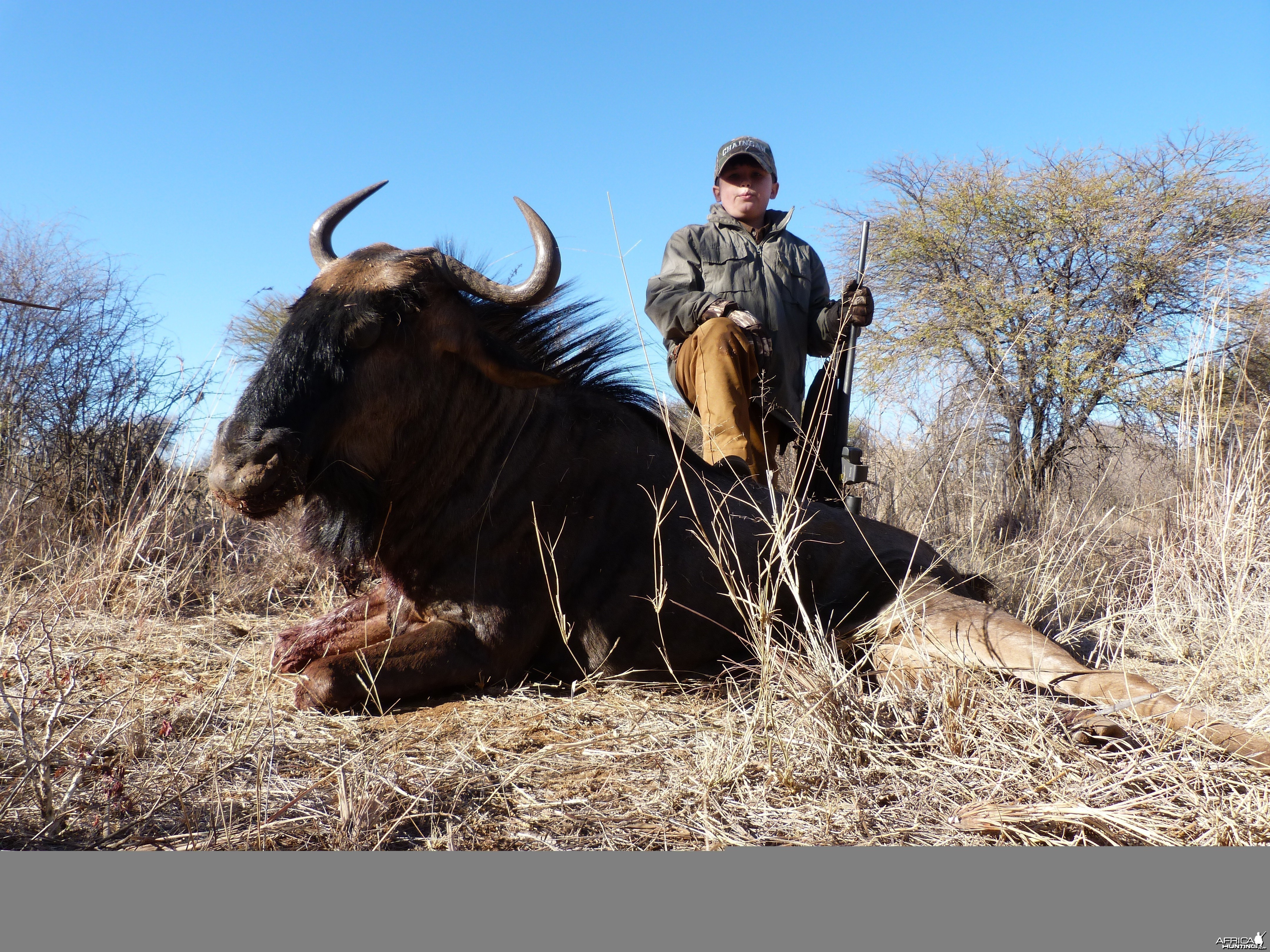 Ashton's Blue Wildebeest