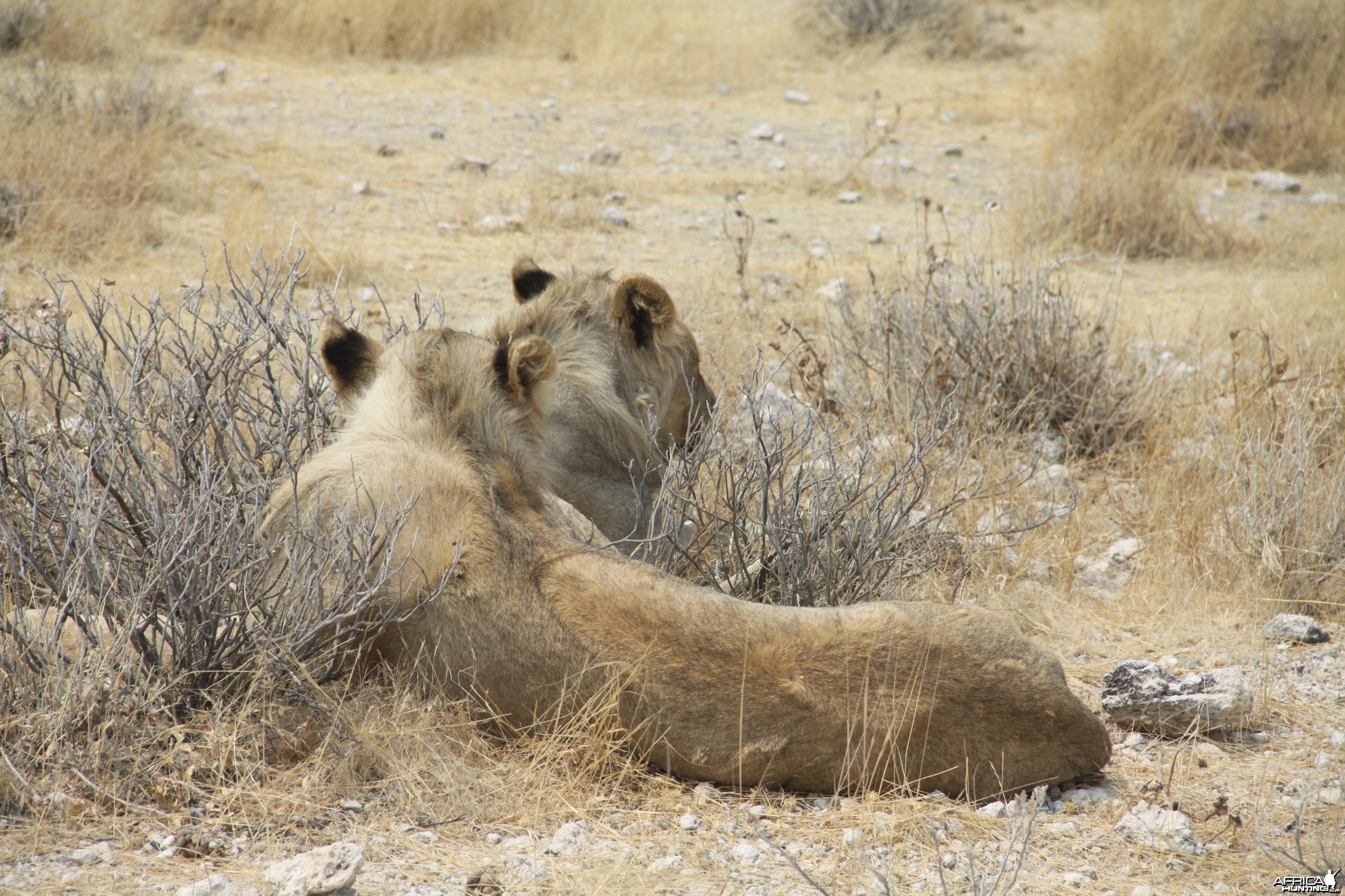Etosha Lion