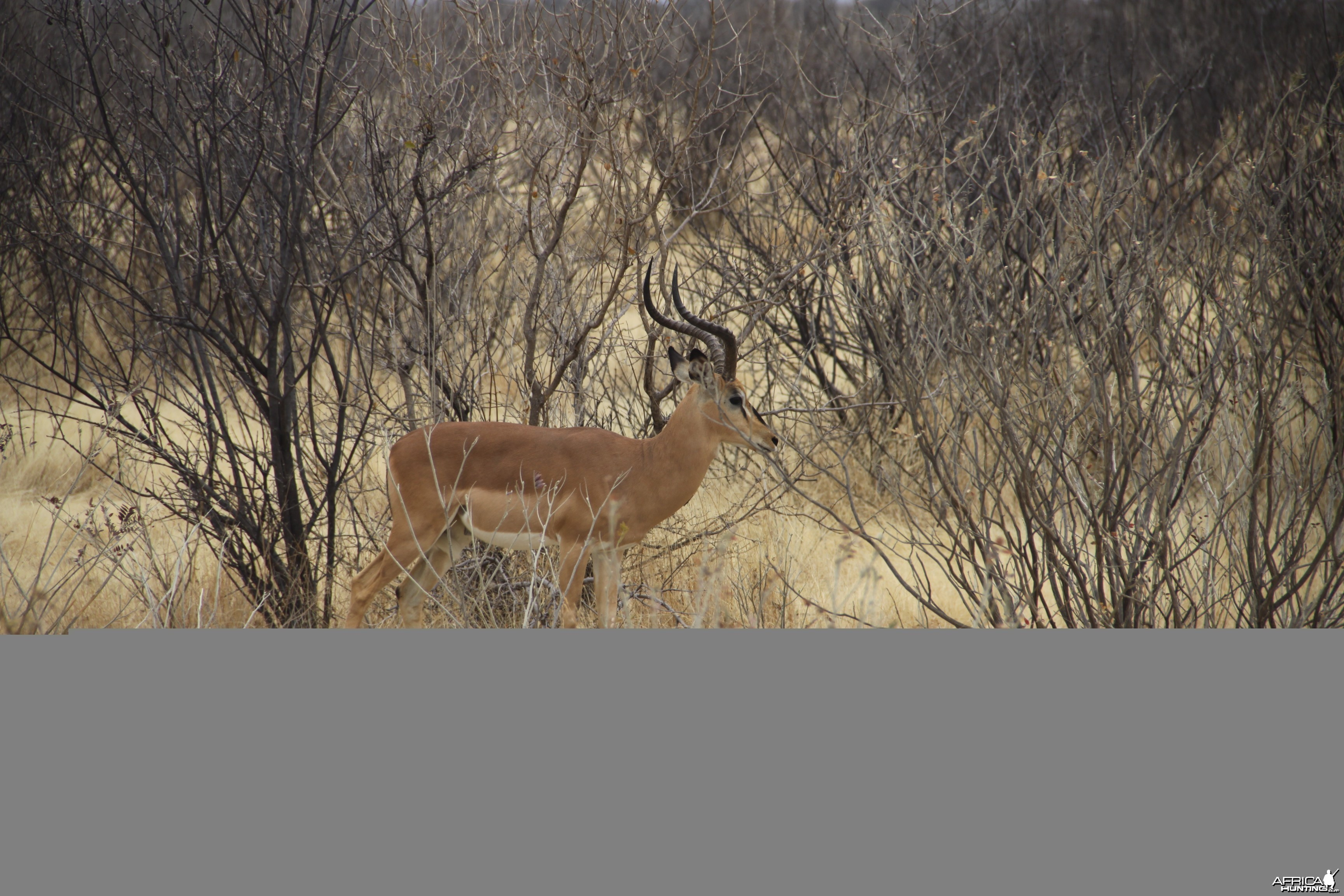 Etosha Black-Faced Impala