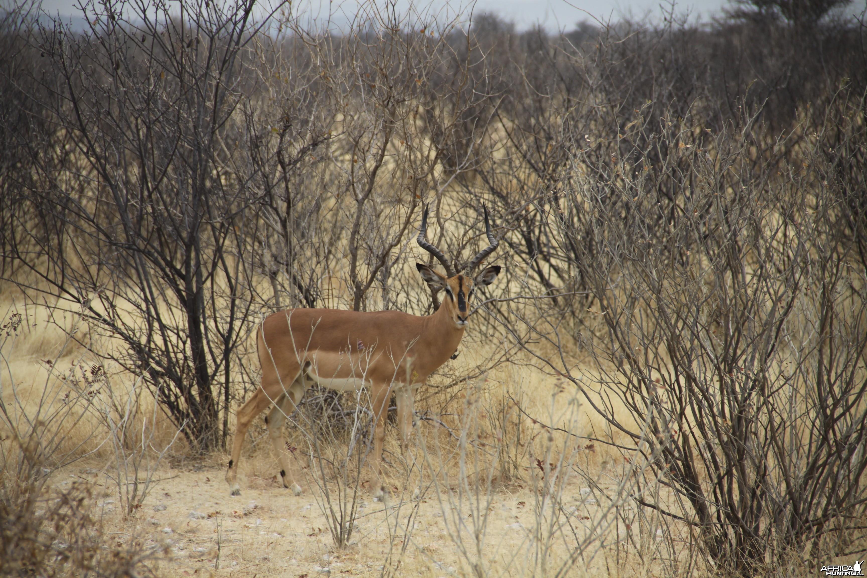 Etosha Black-Faced Impala