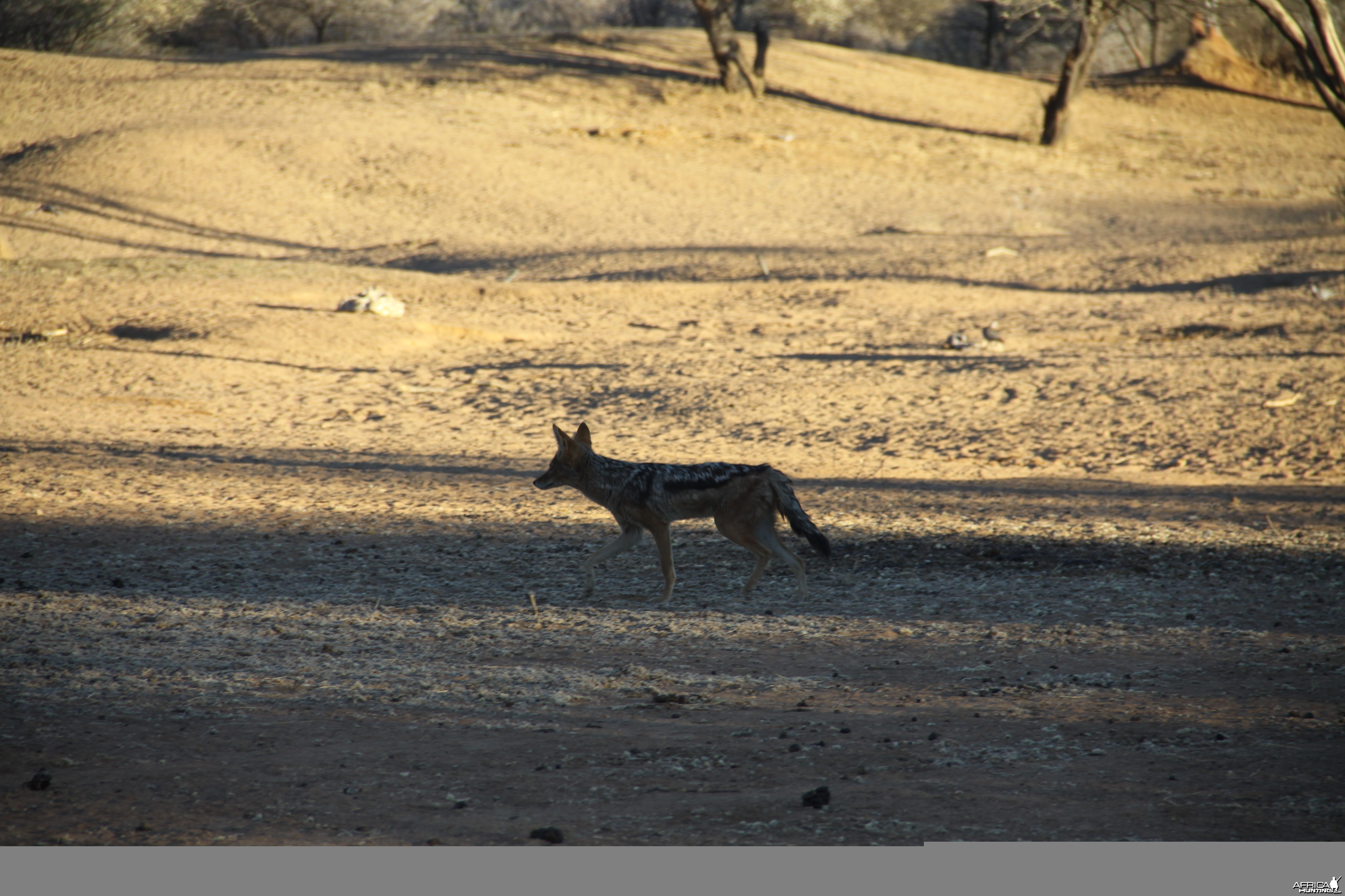 Black-back Jackal Namibia