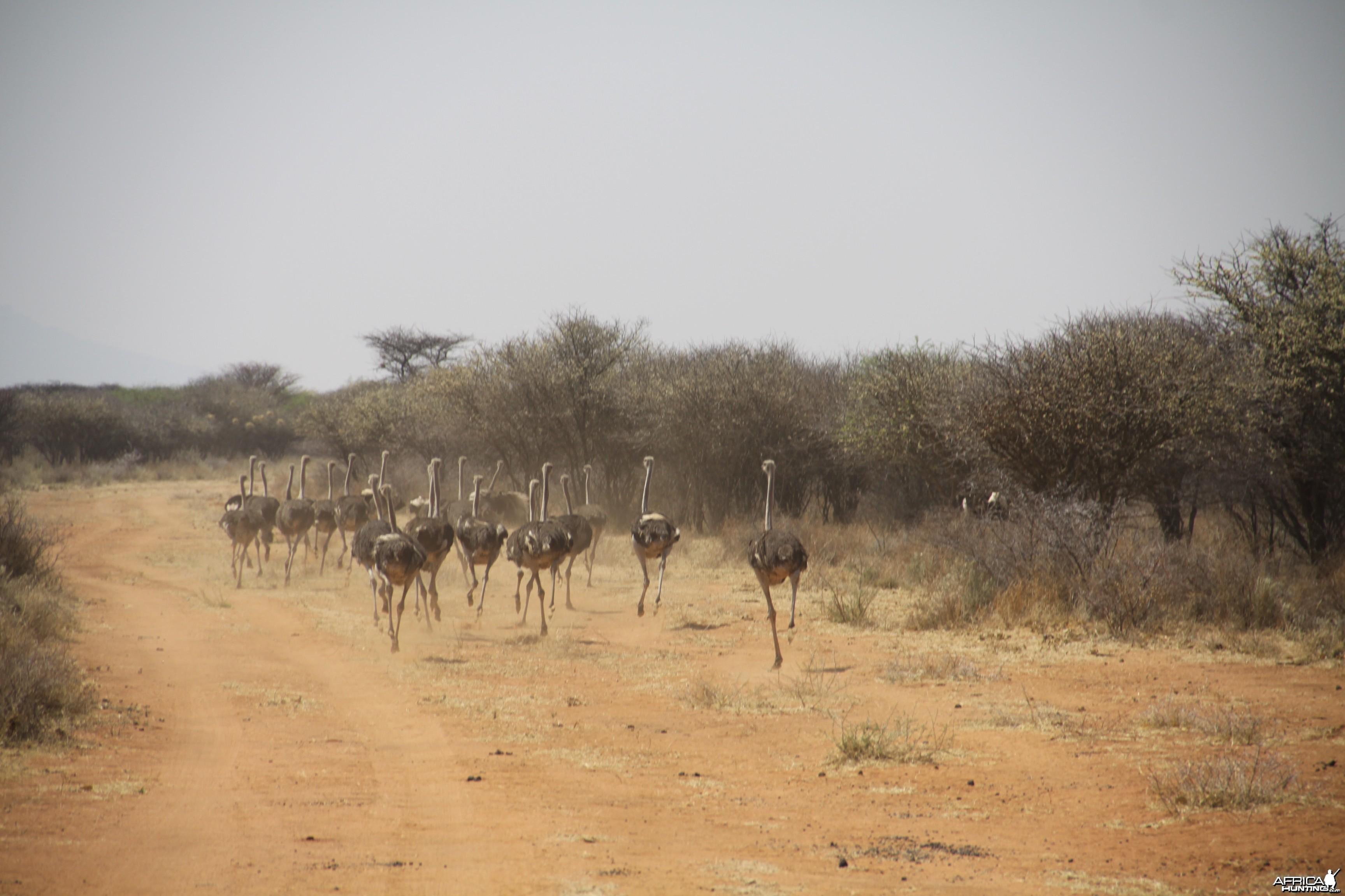 Ostrich Namibia