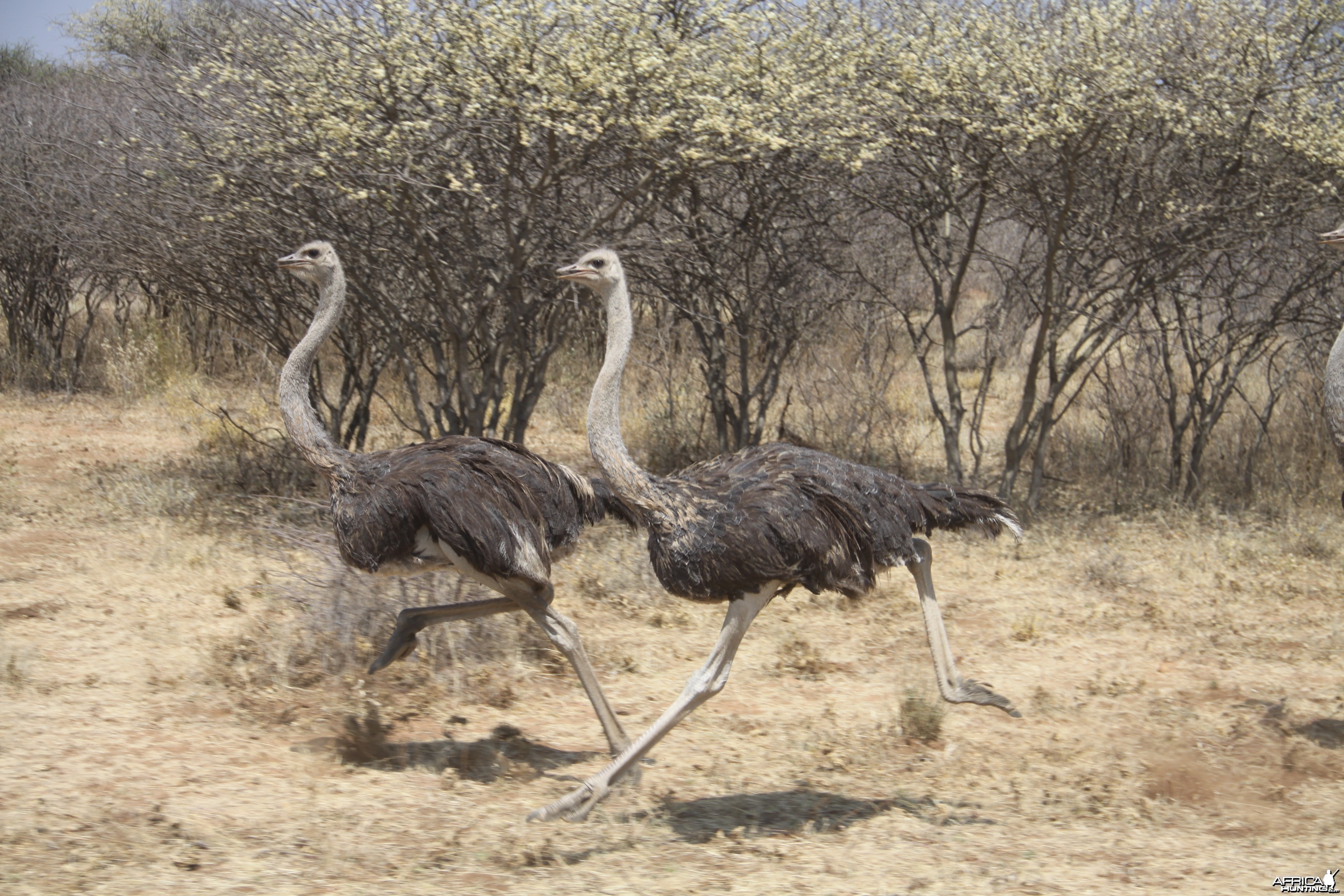 Ostrich Namibia