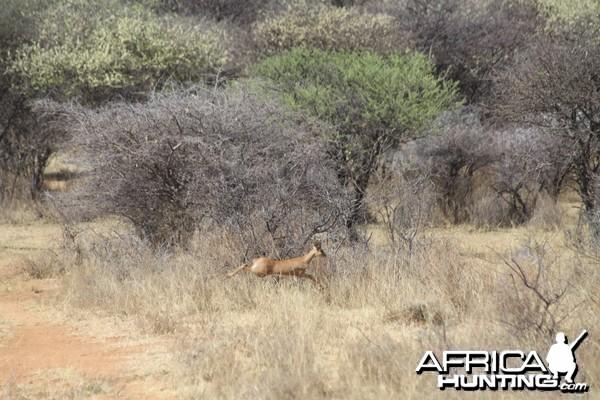 Steenbok Namibia