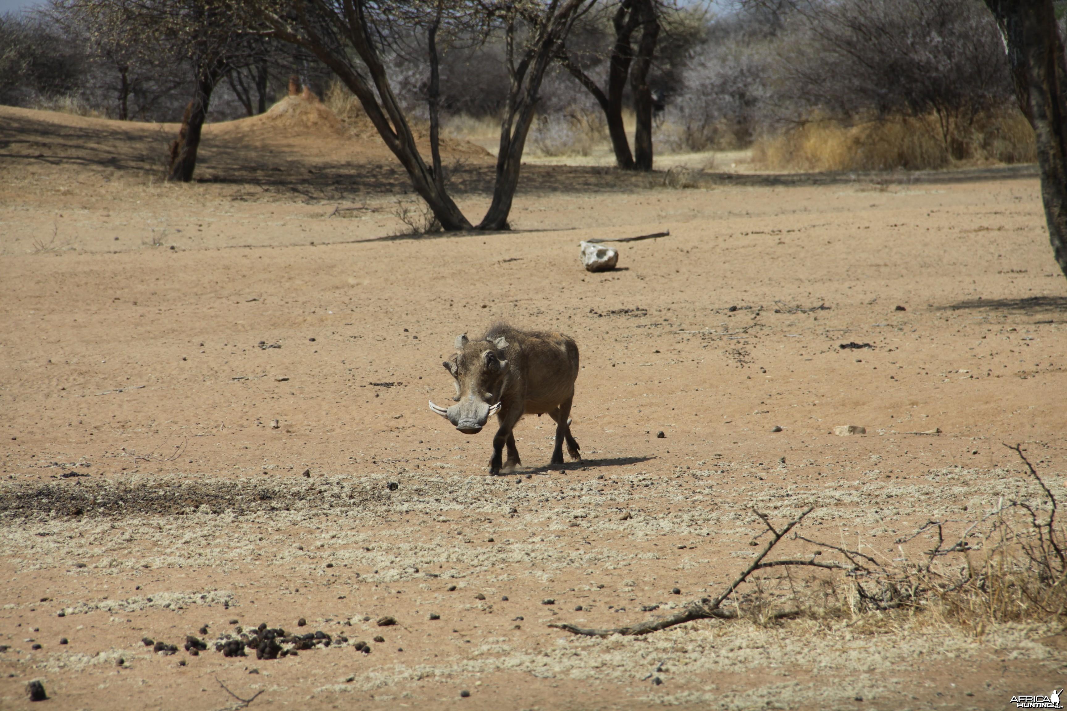 Warthog Namibia