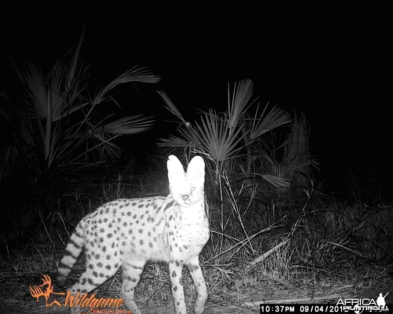 Serval Cat Mozambique Mahimba