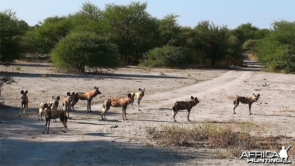 Botswana's Wild Dog