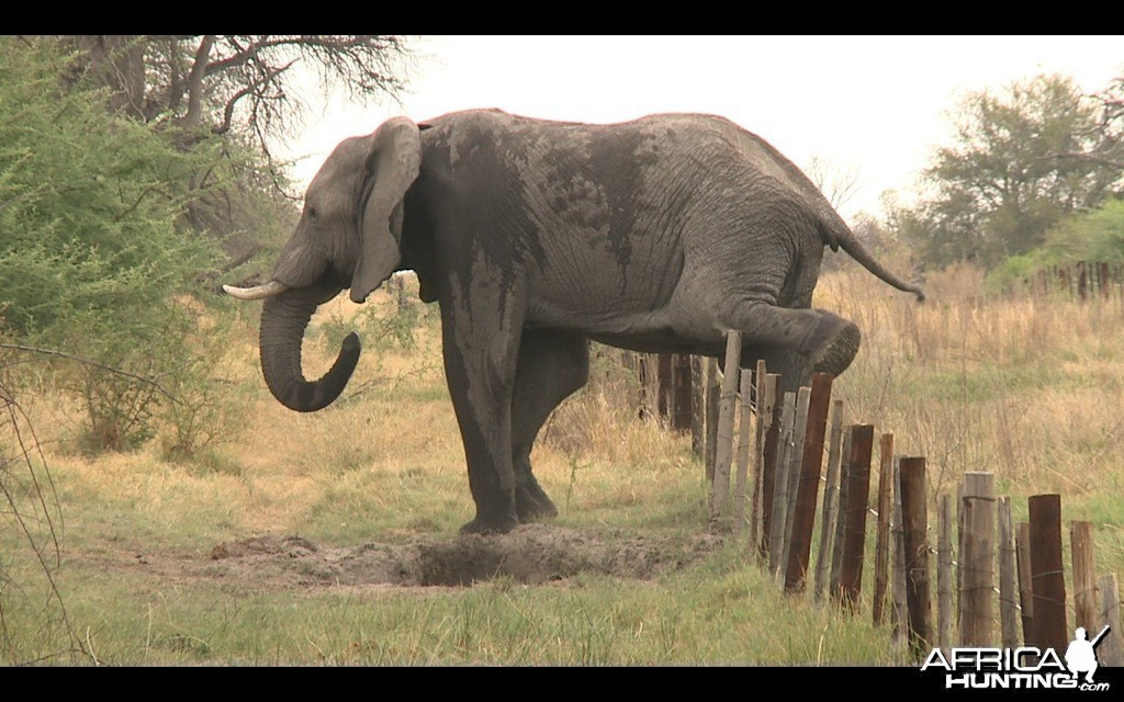 Elephant and fences