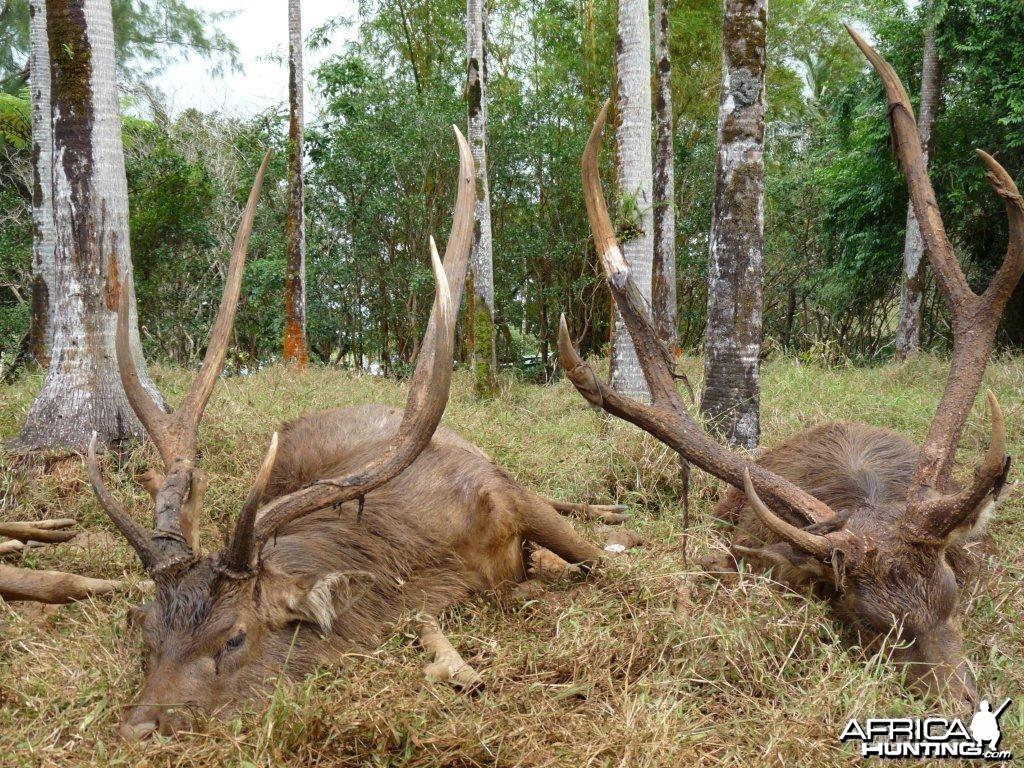 Rusa Deer in Mauritius