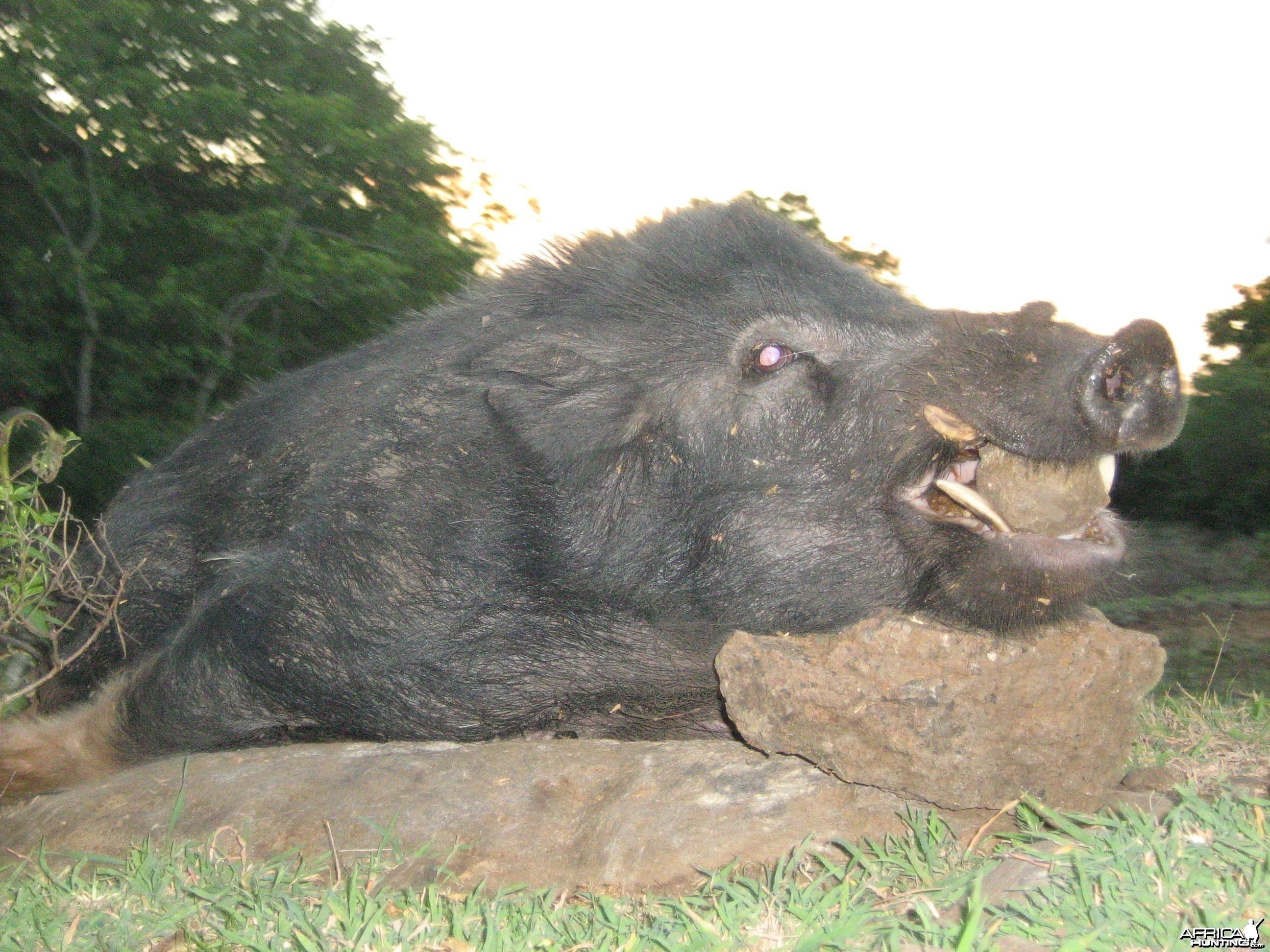 Mauritian wild boar