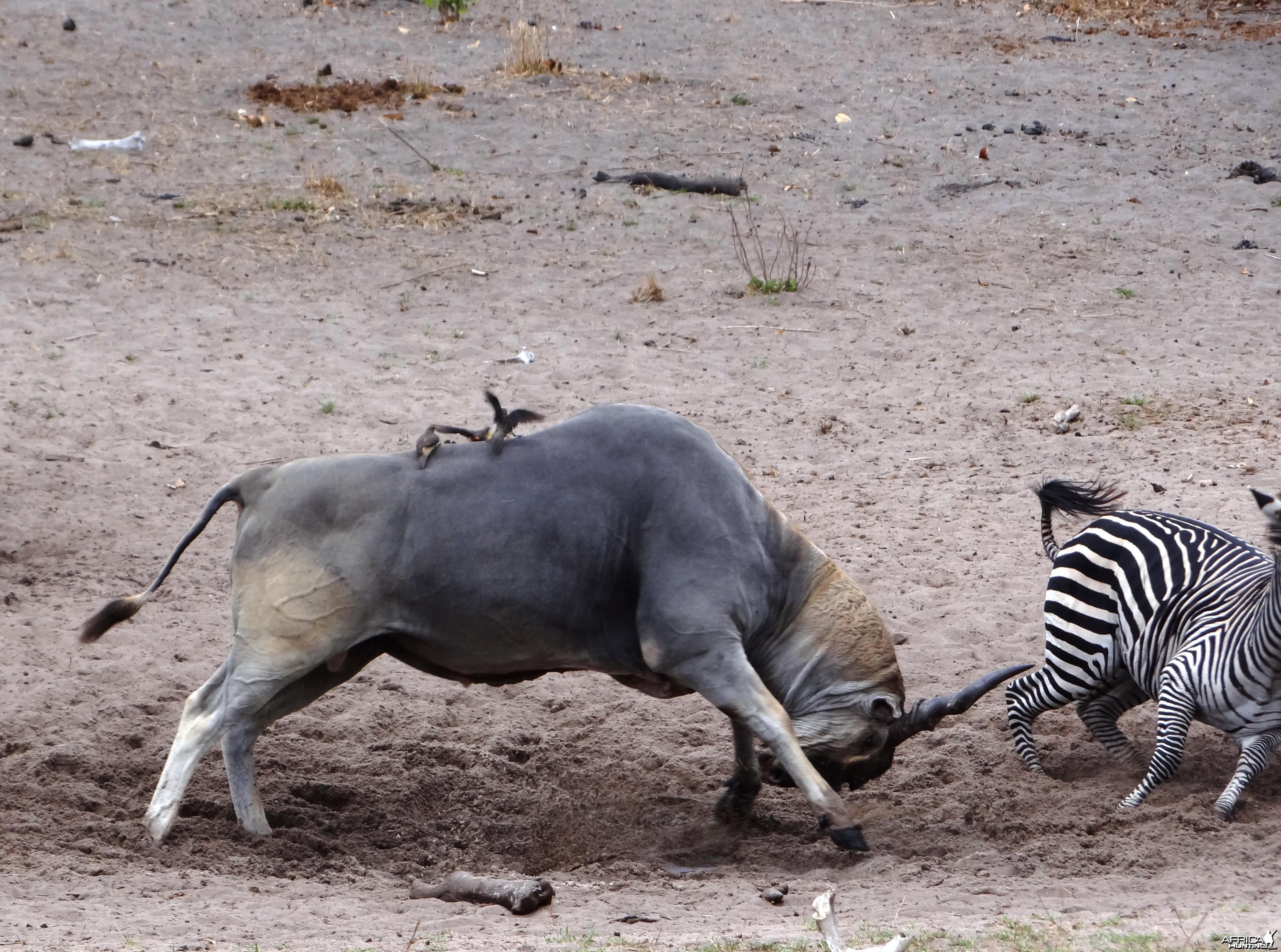 Eland Tanzania
