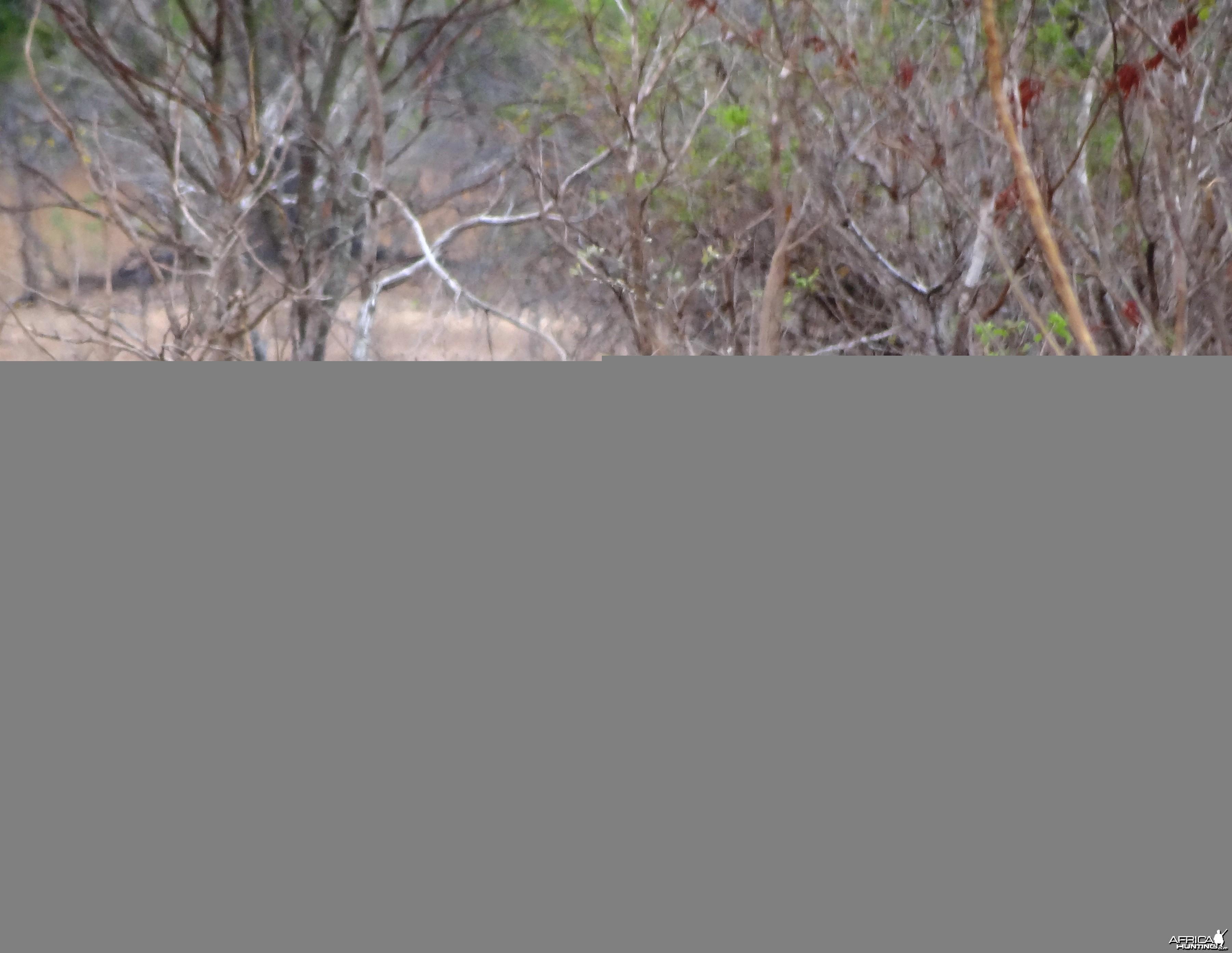 Warthog - Tanzania
