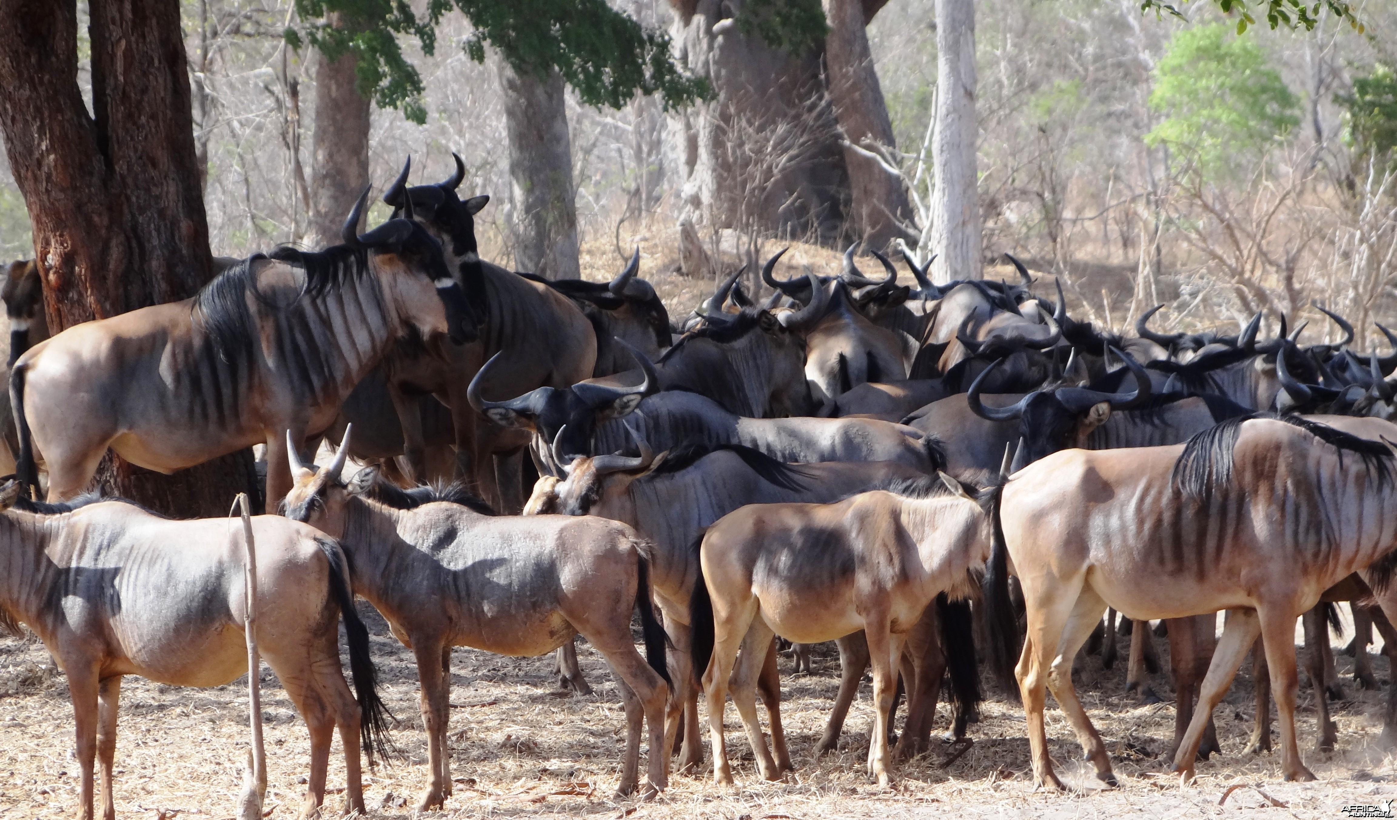 Nyasaland Gnu - Tanzania