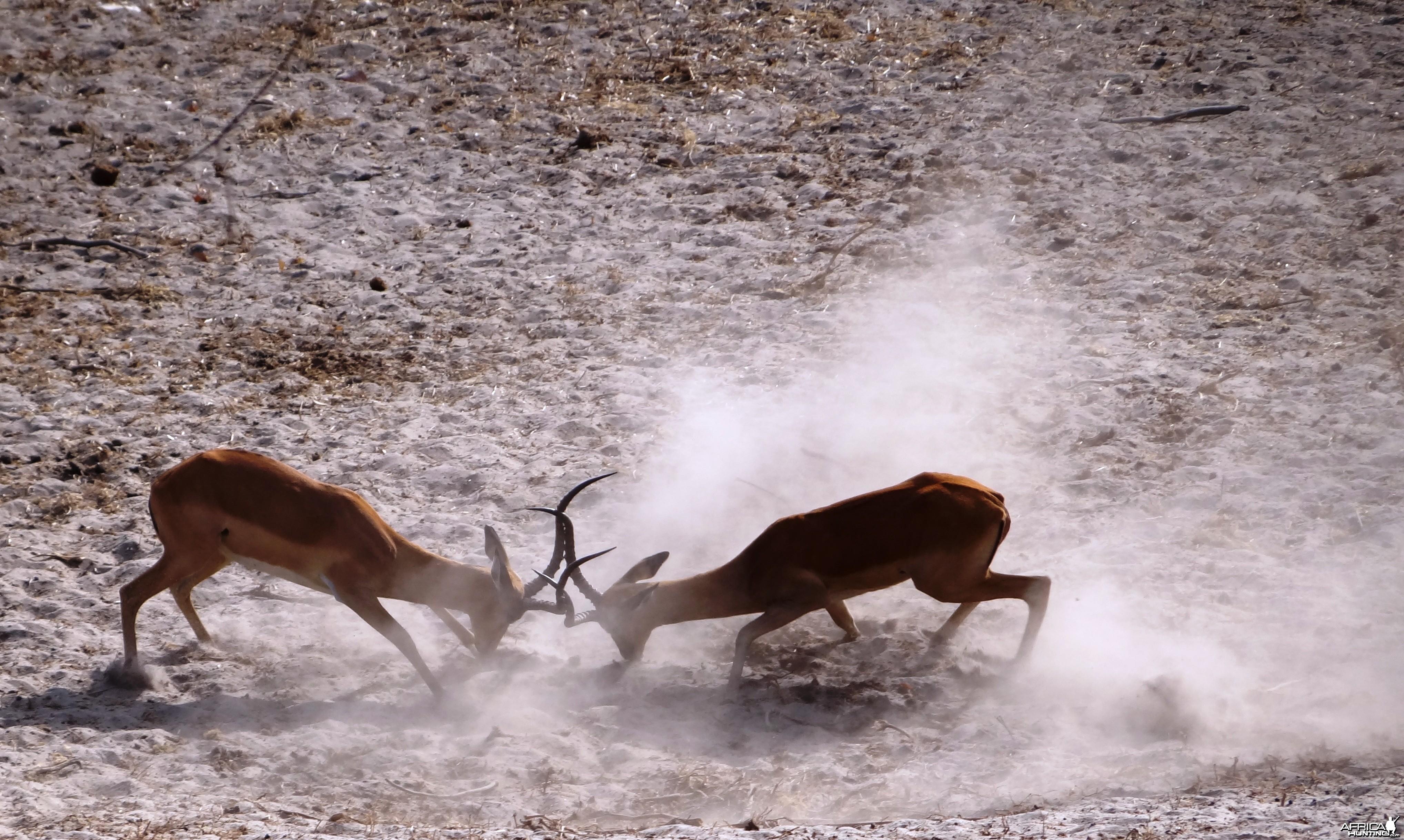 Impala  - Tanzania