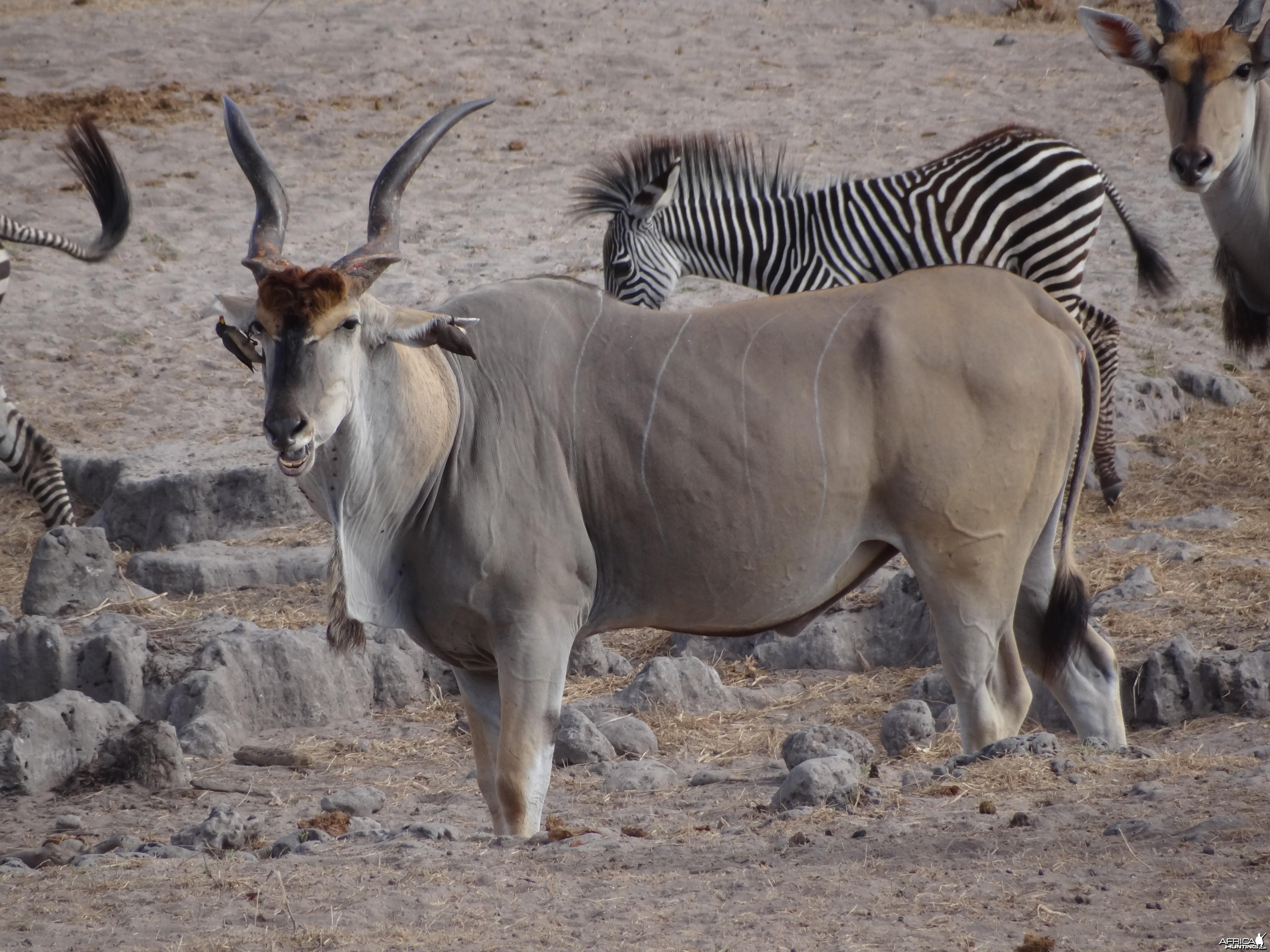 Eland - Tanzania