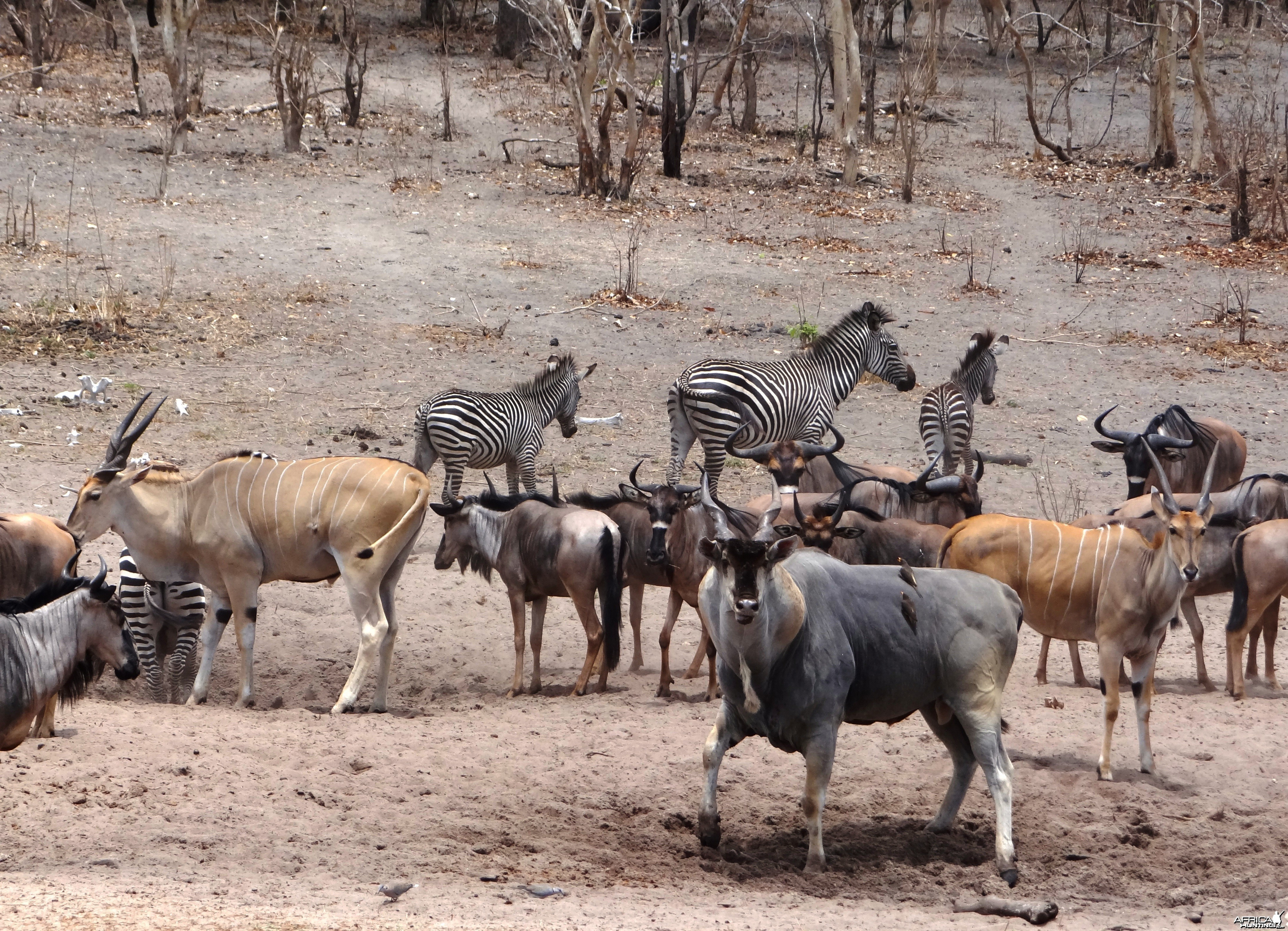 East African eland - Tanzania