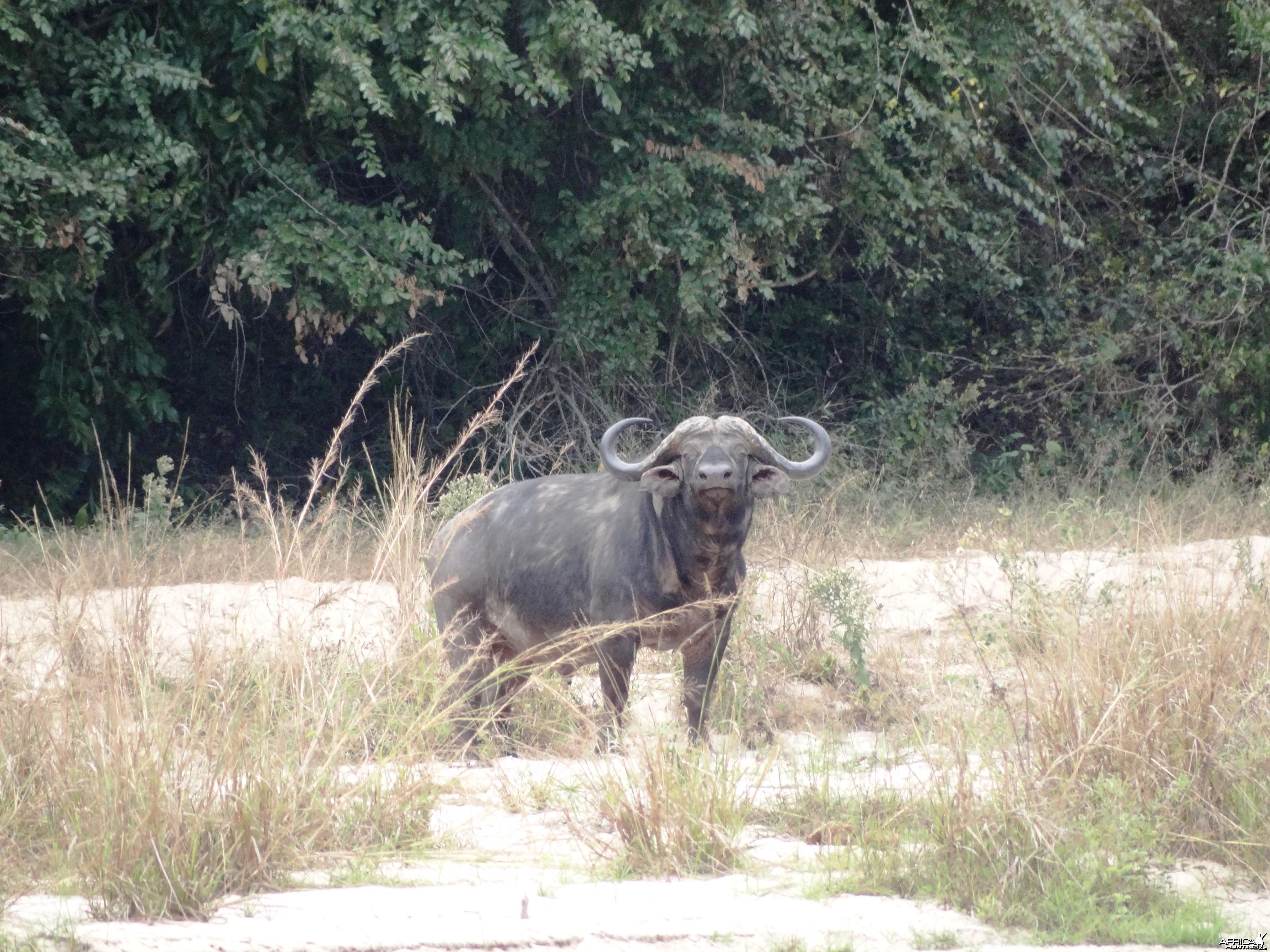 42'' cape buffalo - Tanzania