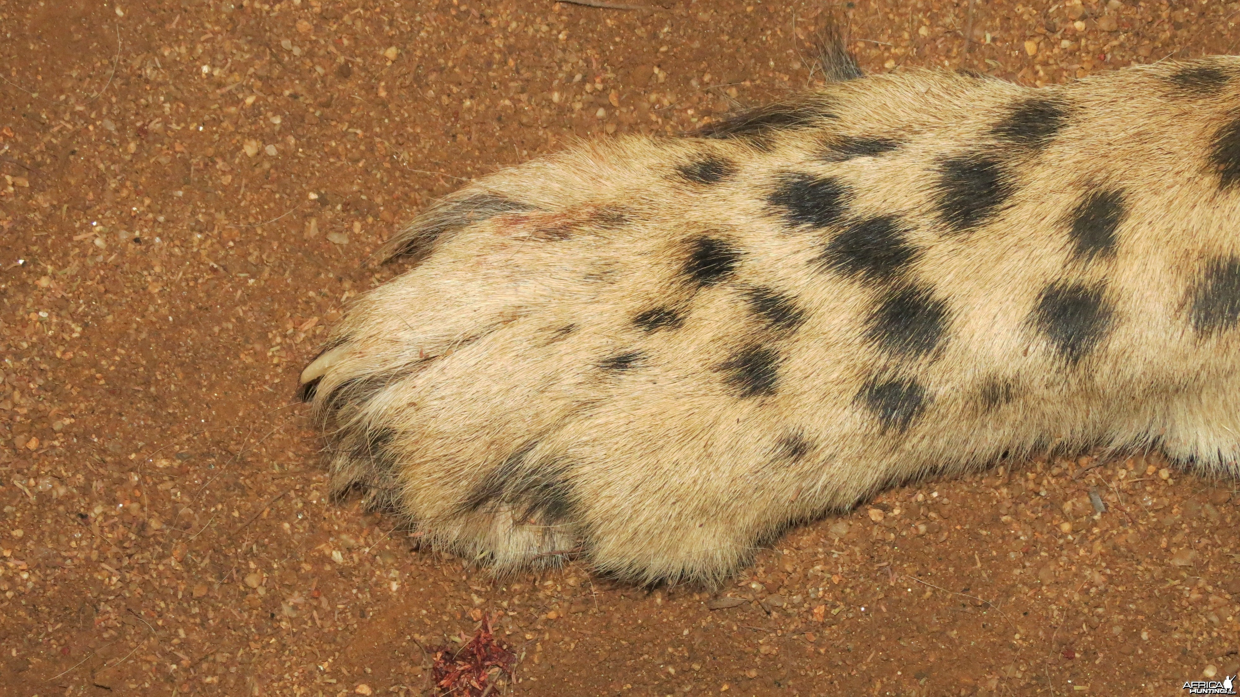 Cheetah front paw