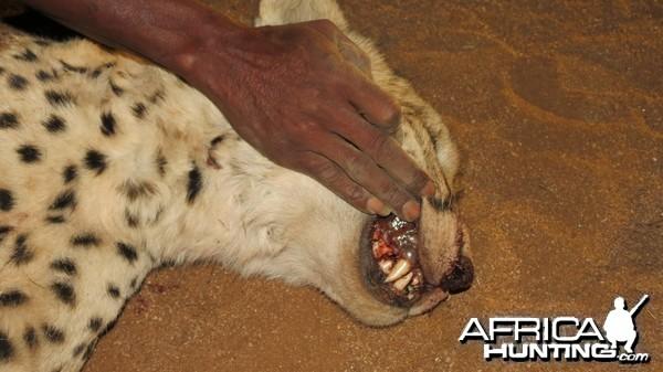 Cheetah teeth