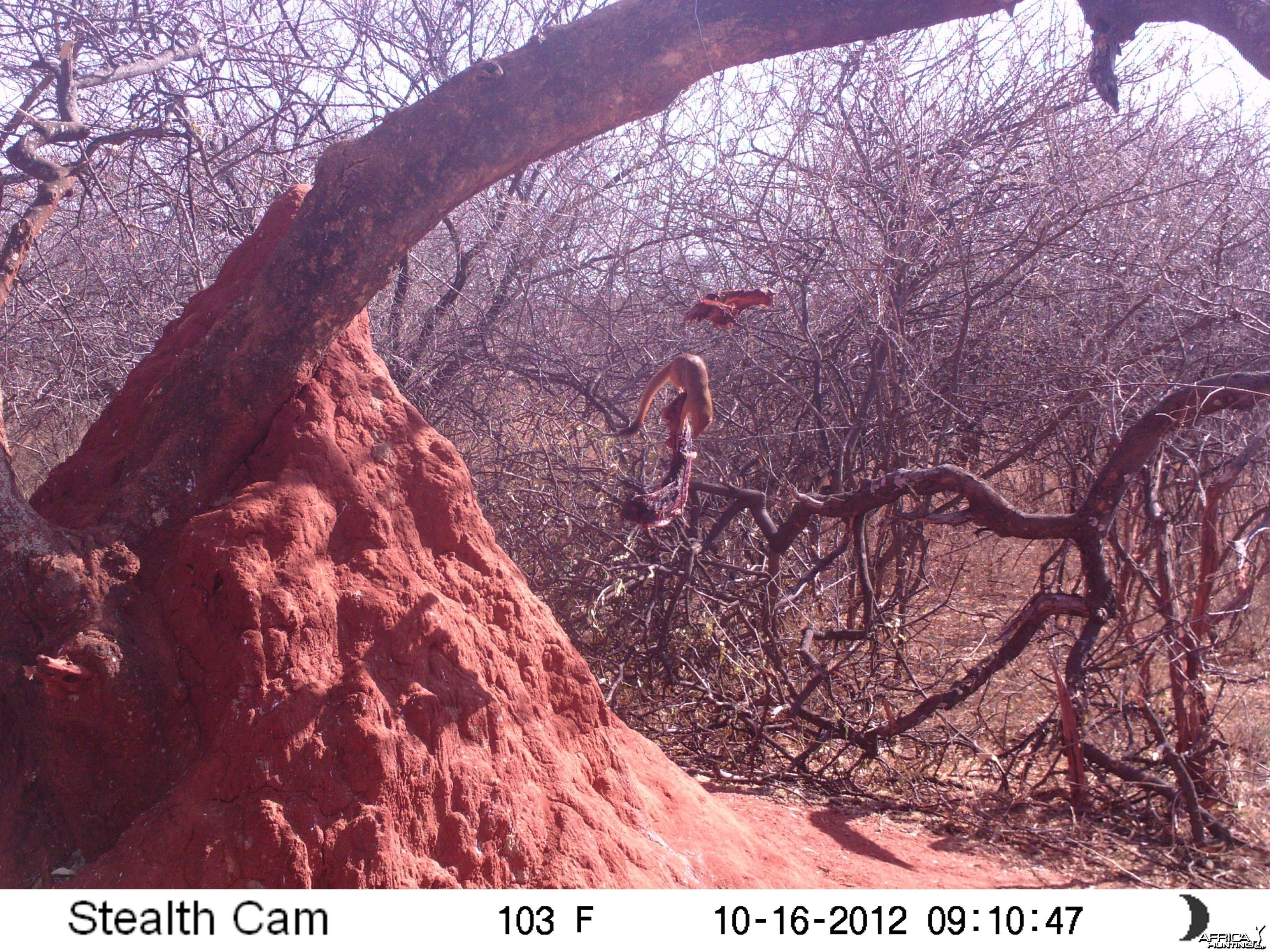 Red Mangoose
