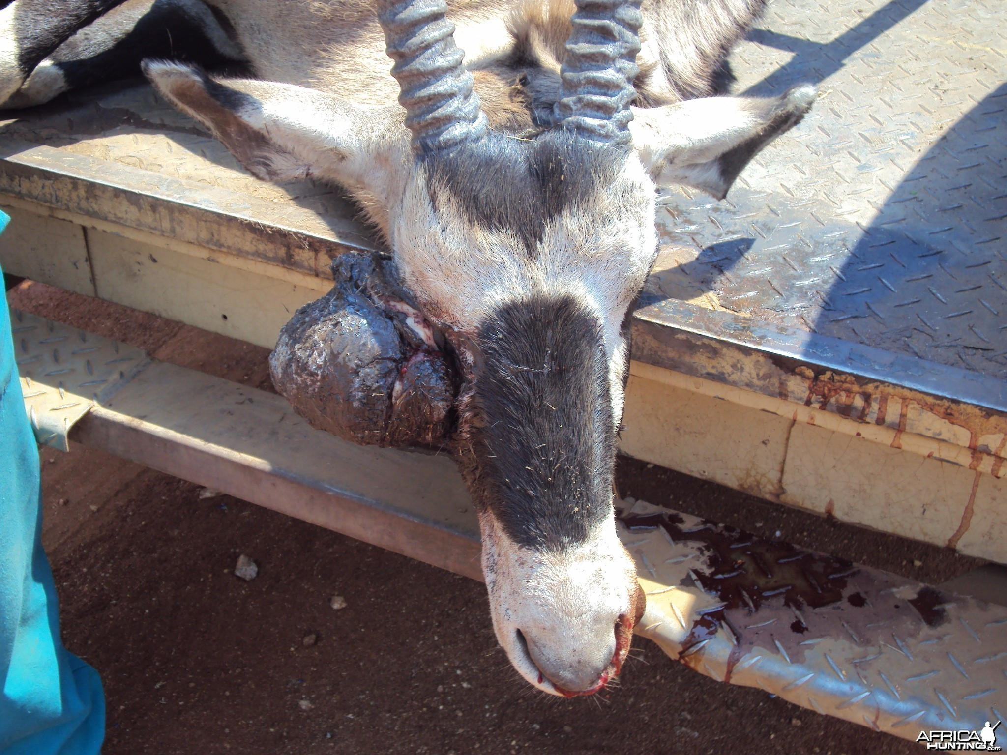 Gemsbok with huge growth on its' face