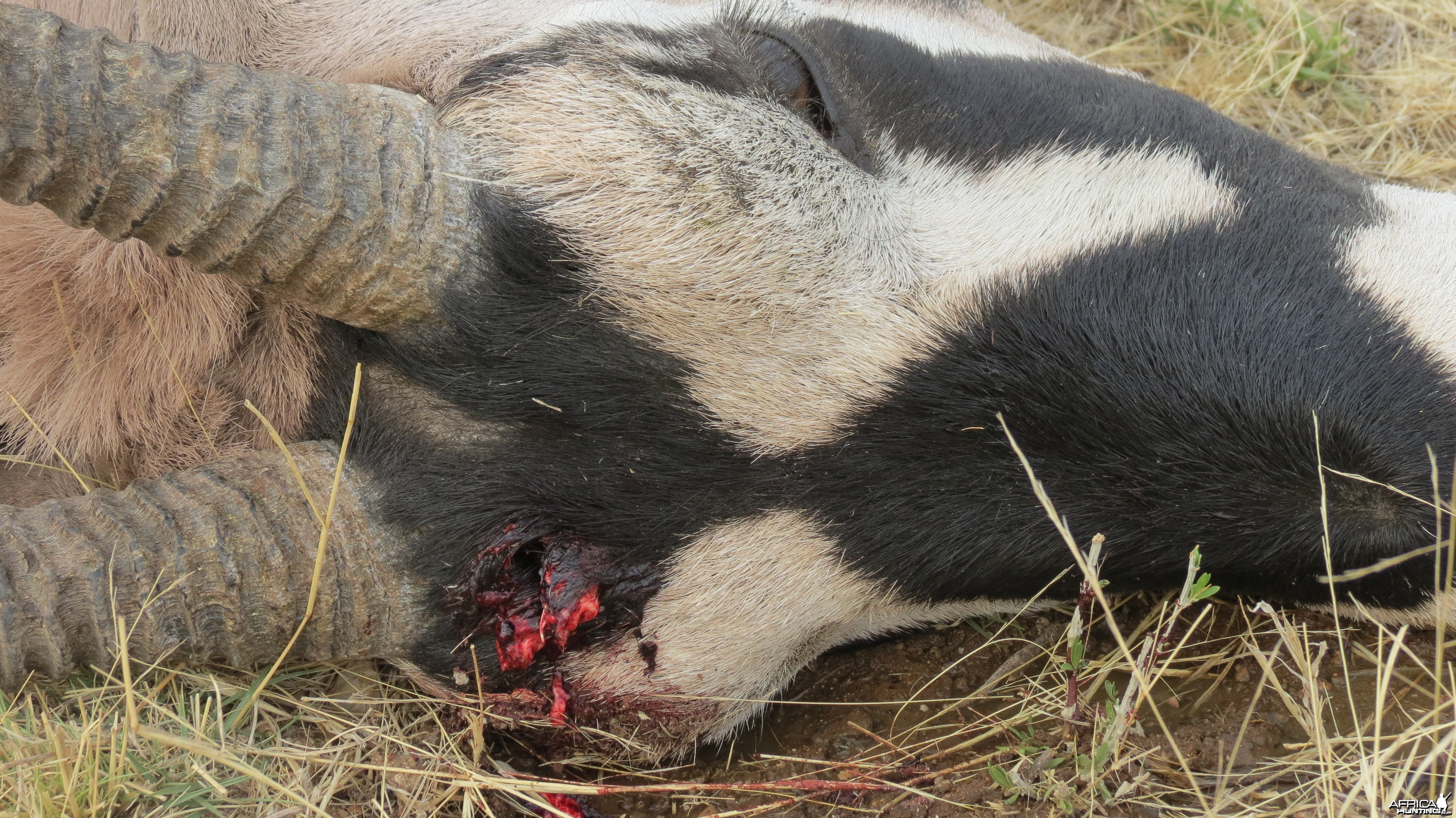 Gemsbok that died fighting!