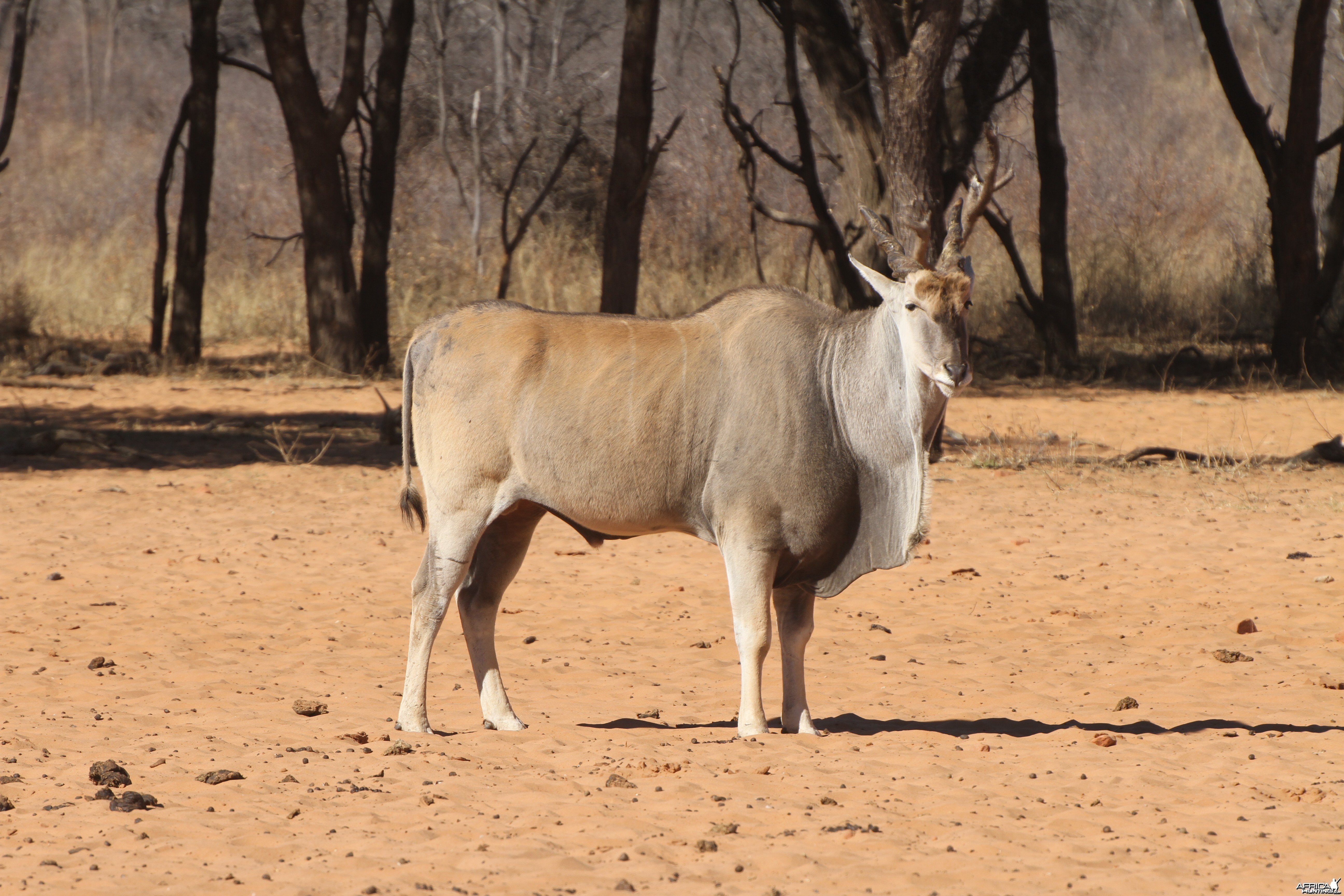 Cape Eland at Waterberg National Park