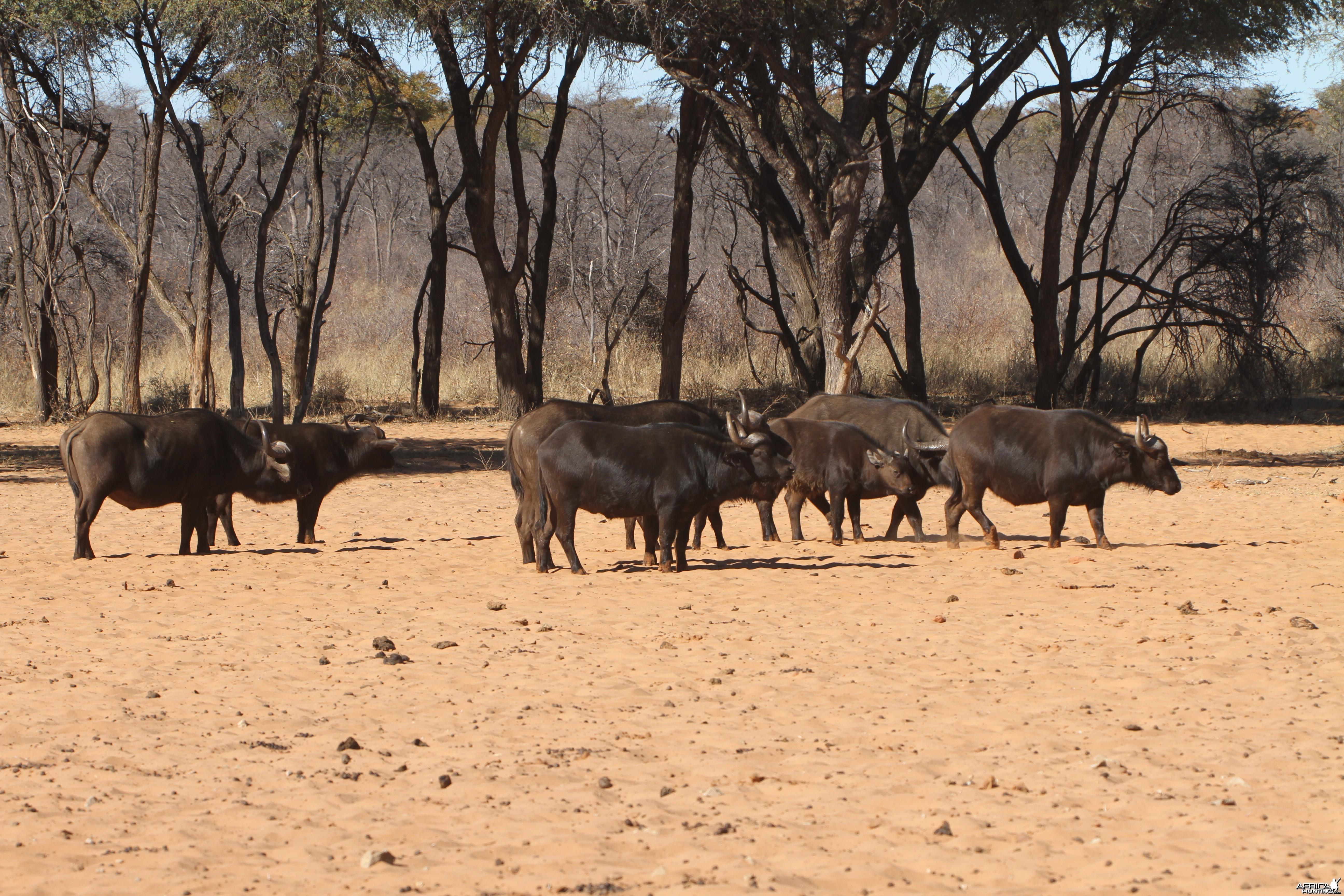 Cape Buffalo at Waterberg National Park Namibia