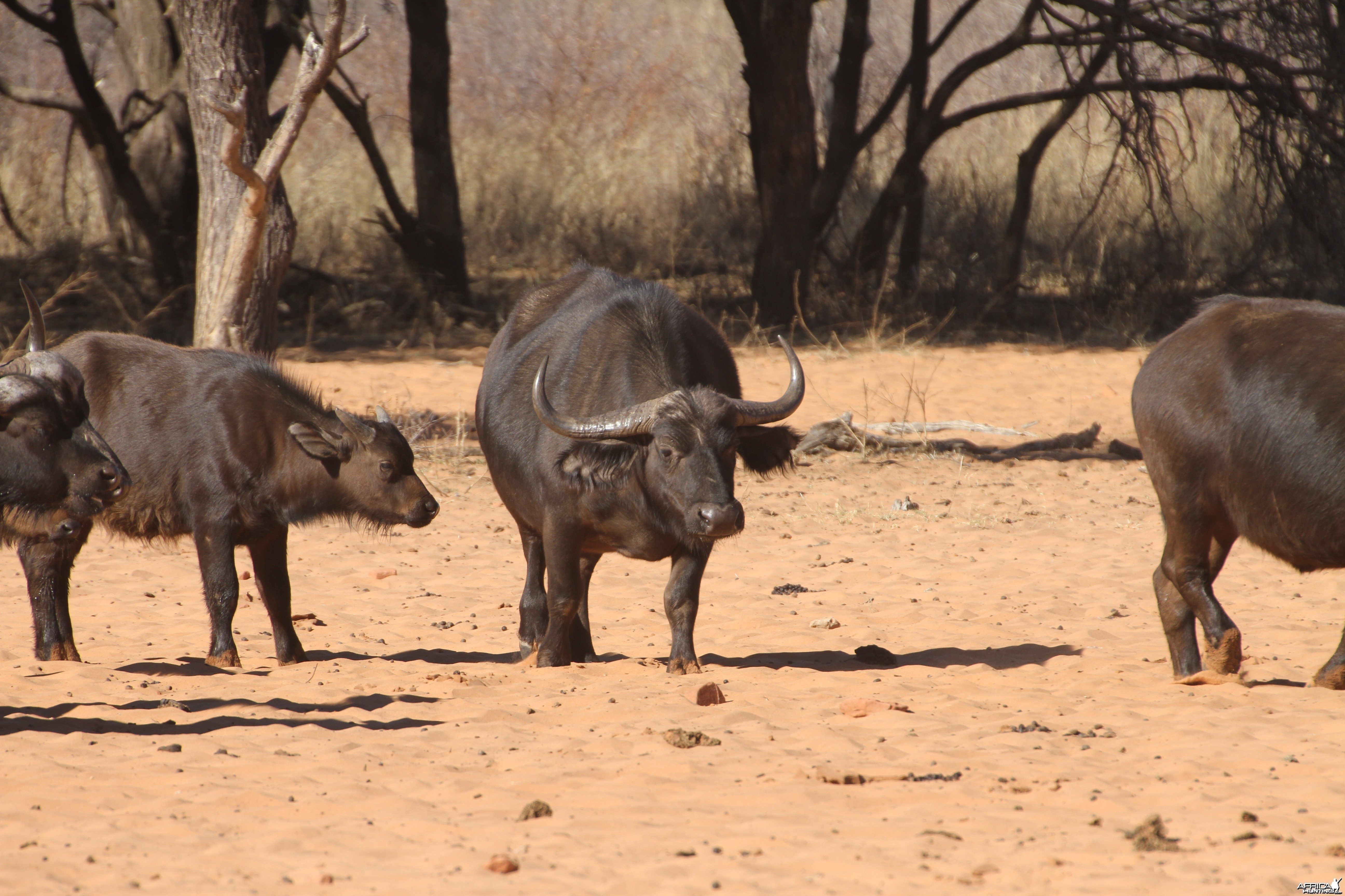 Cape Buffalo at Waterberg National Park Namibia