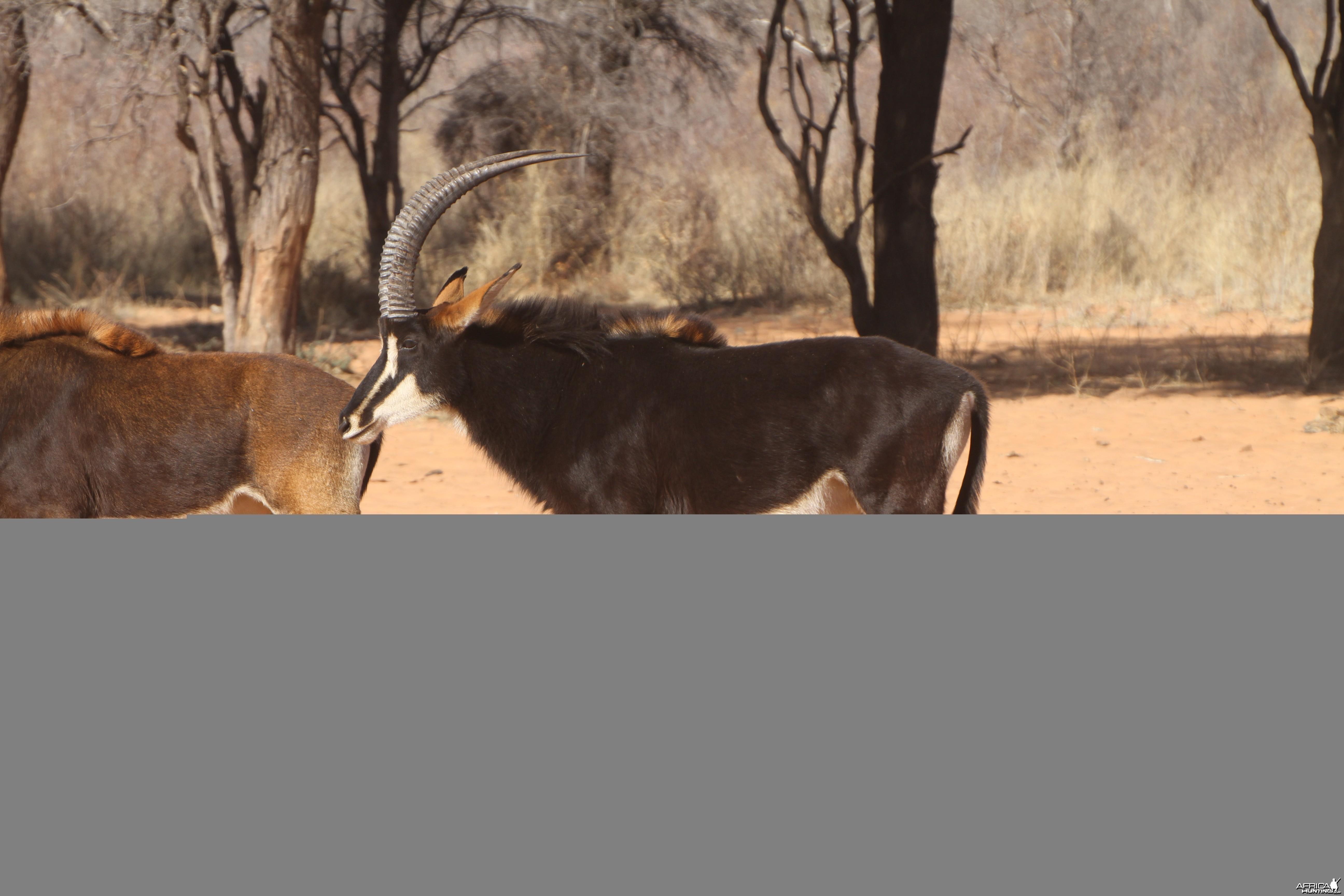 Sable Antelope at Waterberg National Park Namibia
