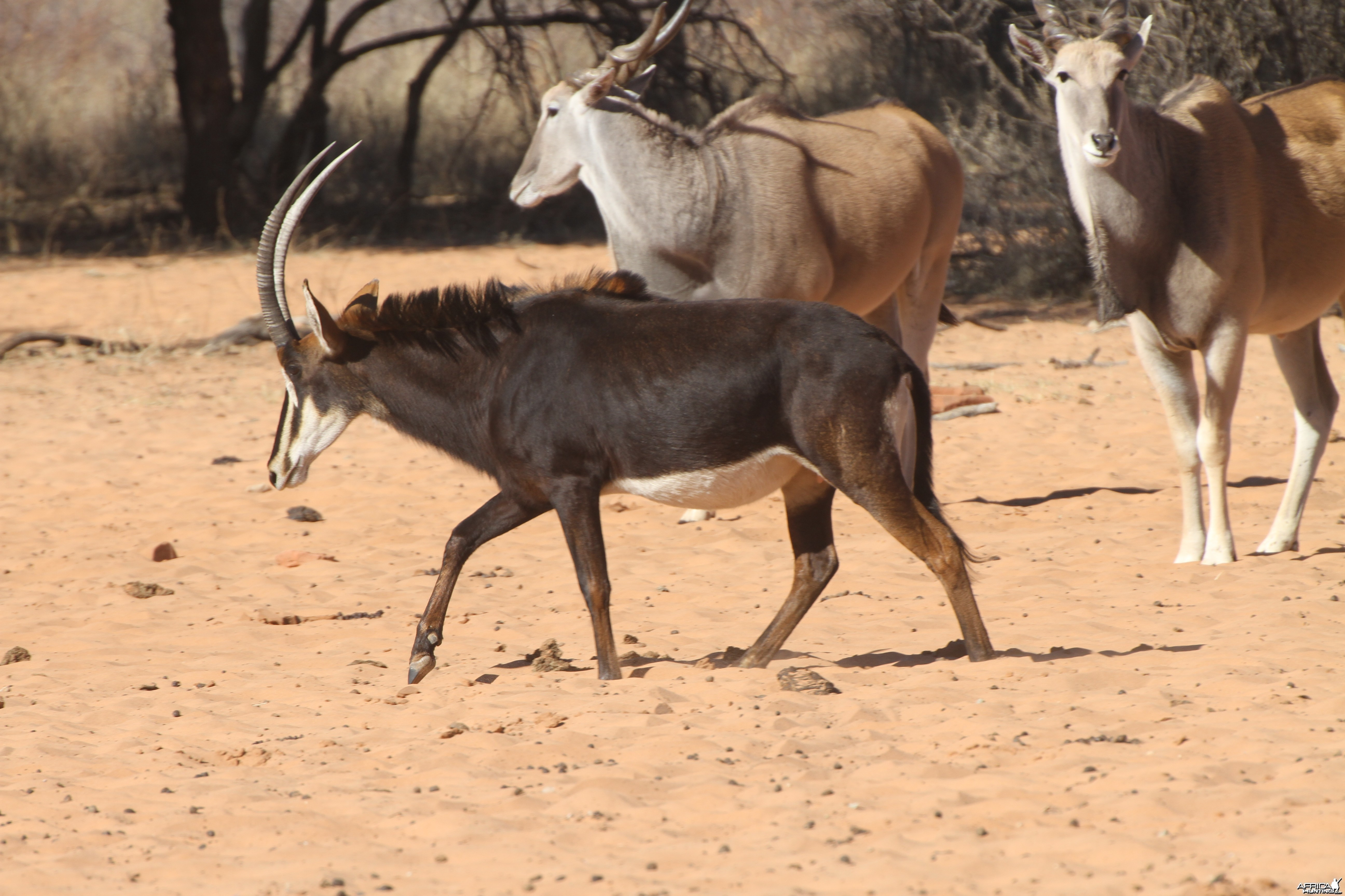 Sable Antelope at Waterberg National Park Namibia