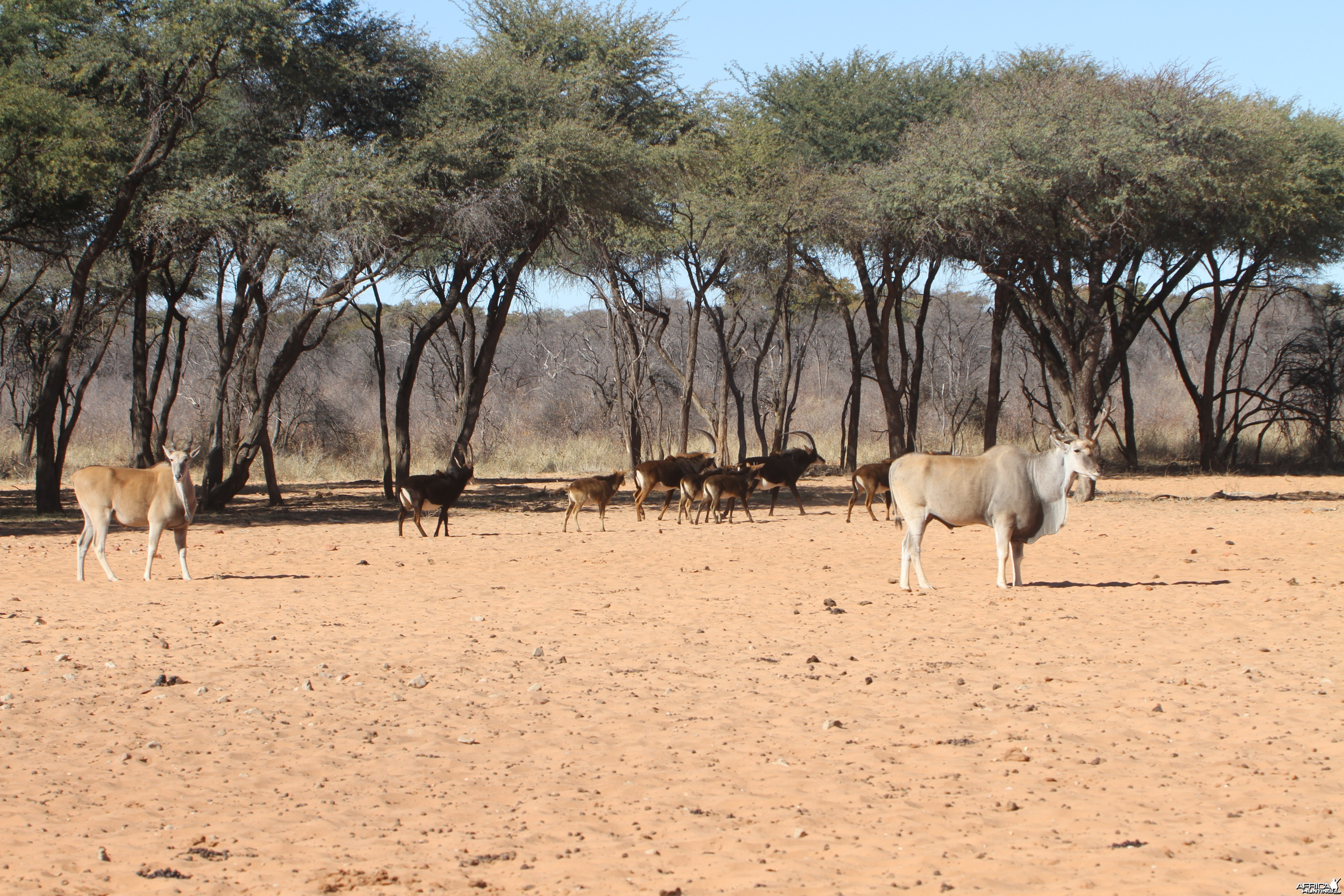 Cape Eland at Waterberg National Park Namibia