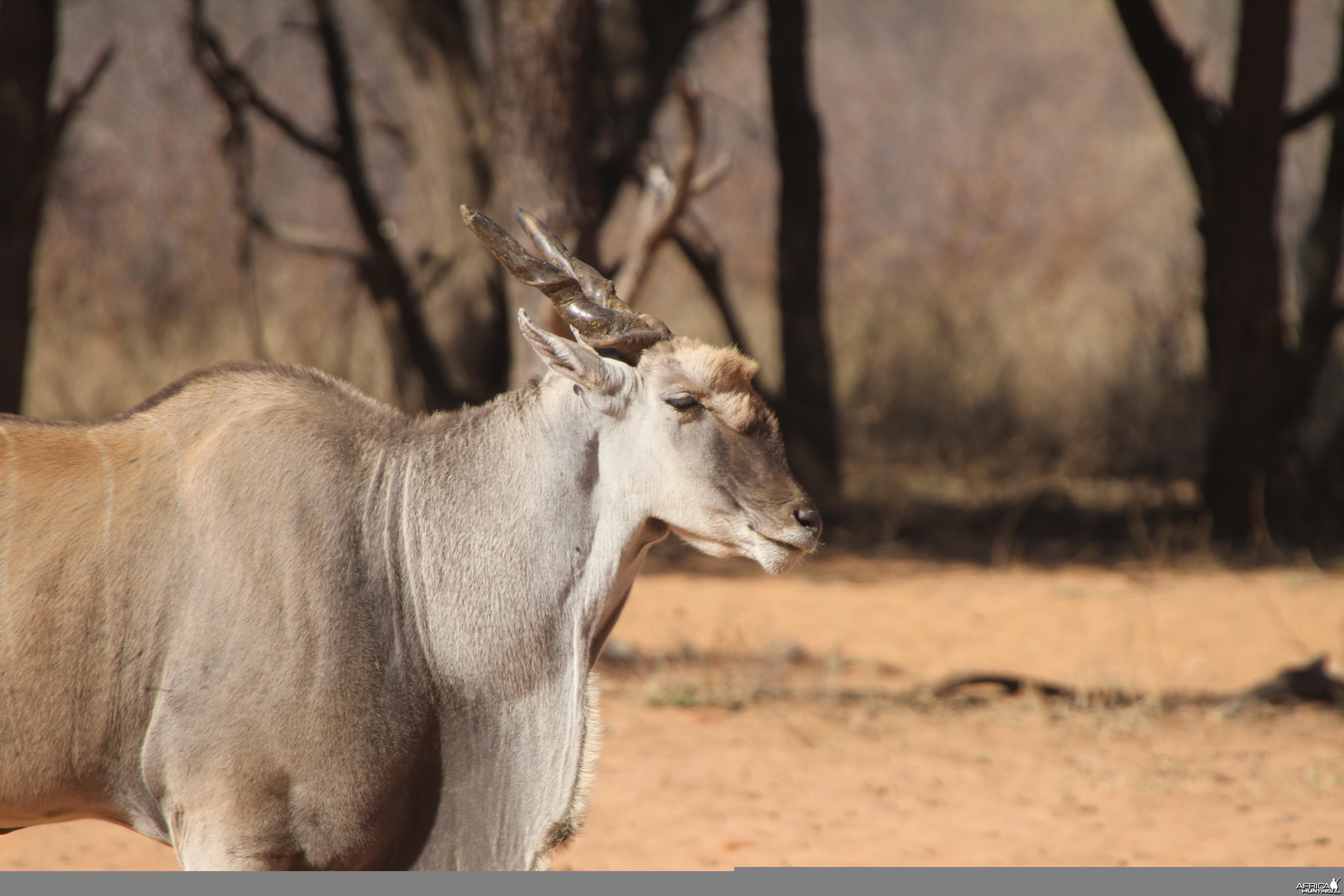 Cape Eland at Waterberg National Park Namibia