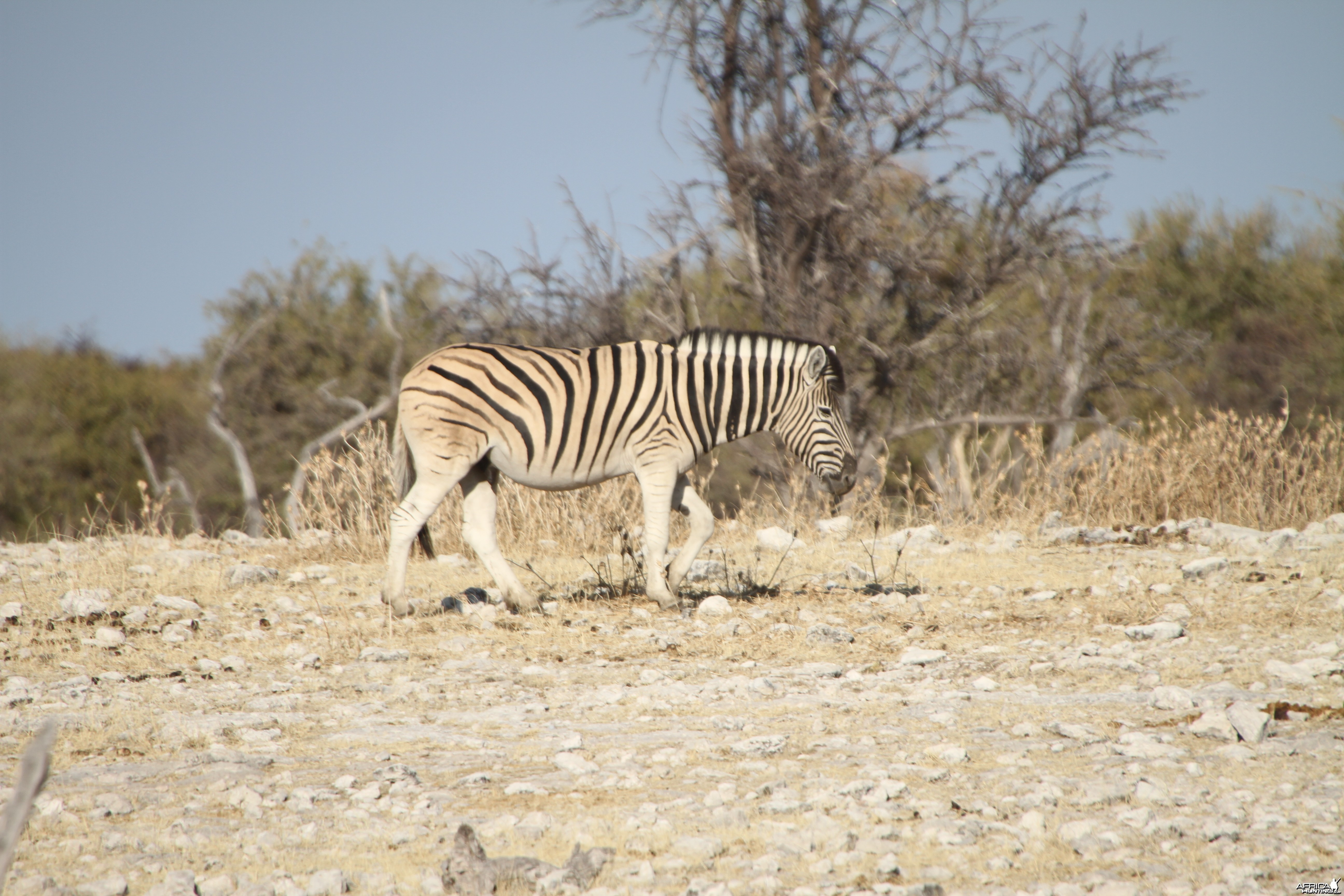Zebra at Etosha National Park