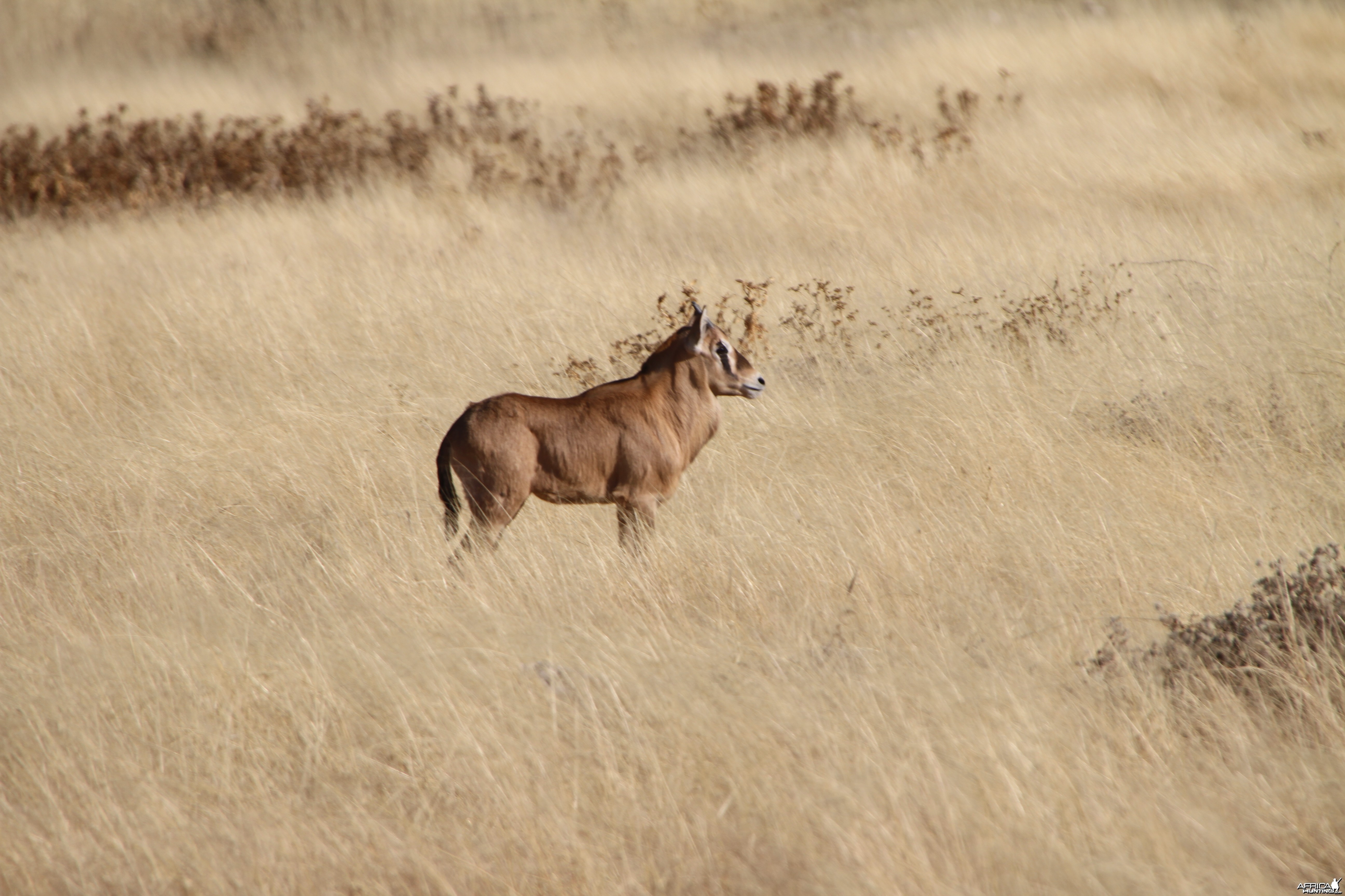 Young Gemsbok at Etosha National Park
