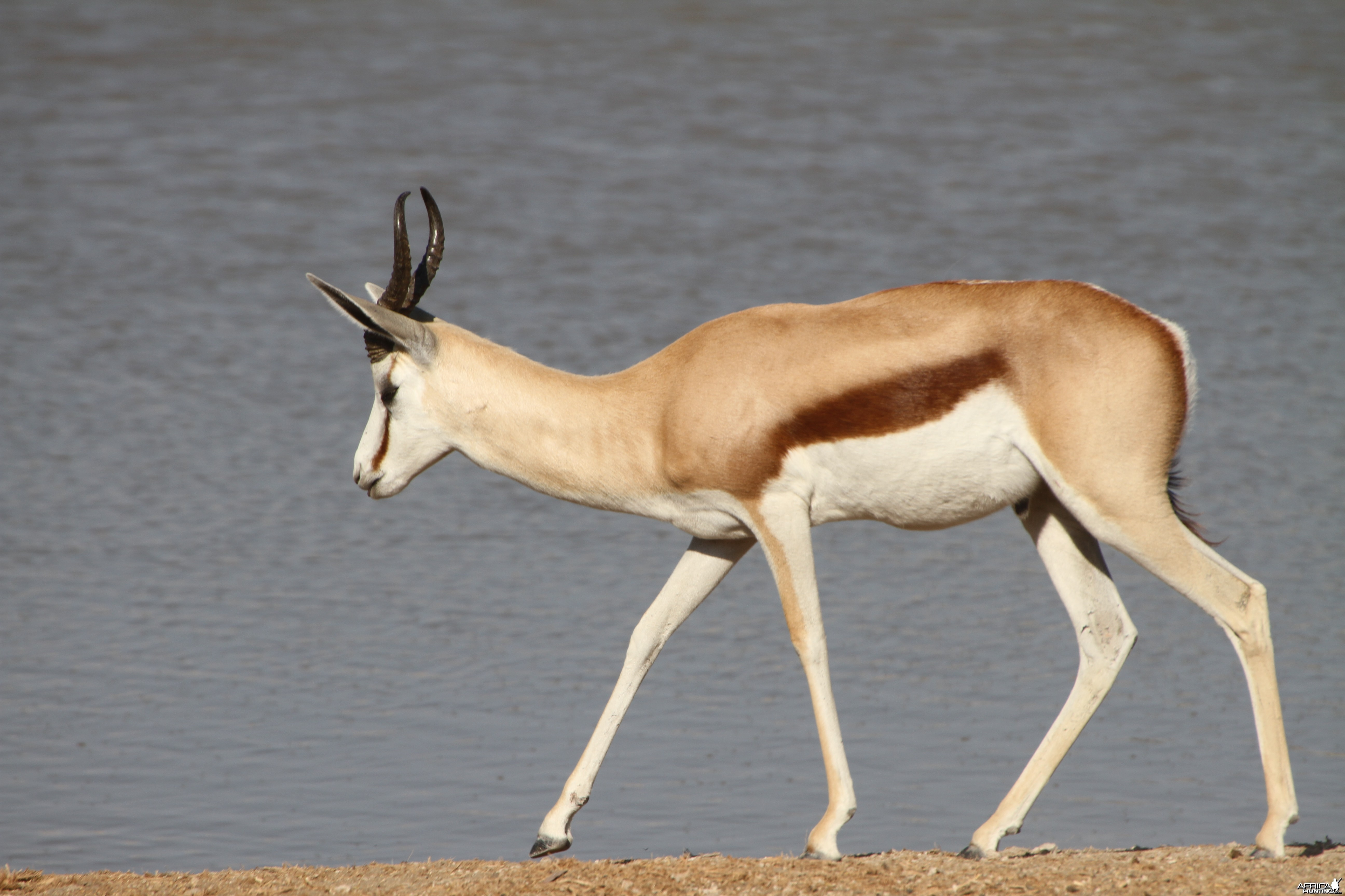 Springbok at Etosha National Park