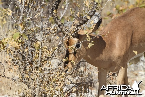 Black-Faced Impala at Etosha National Park