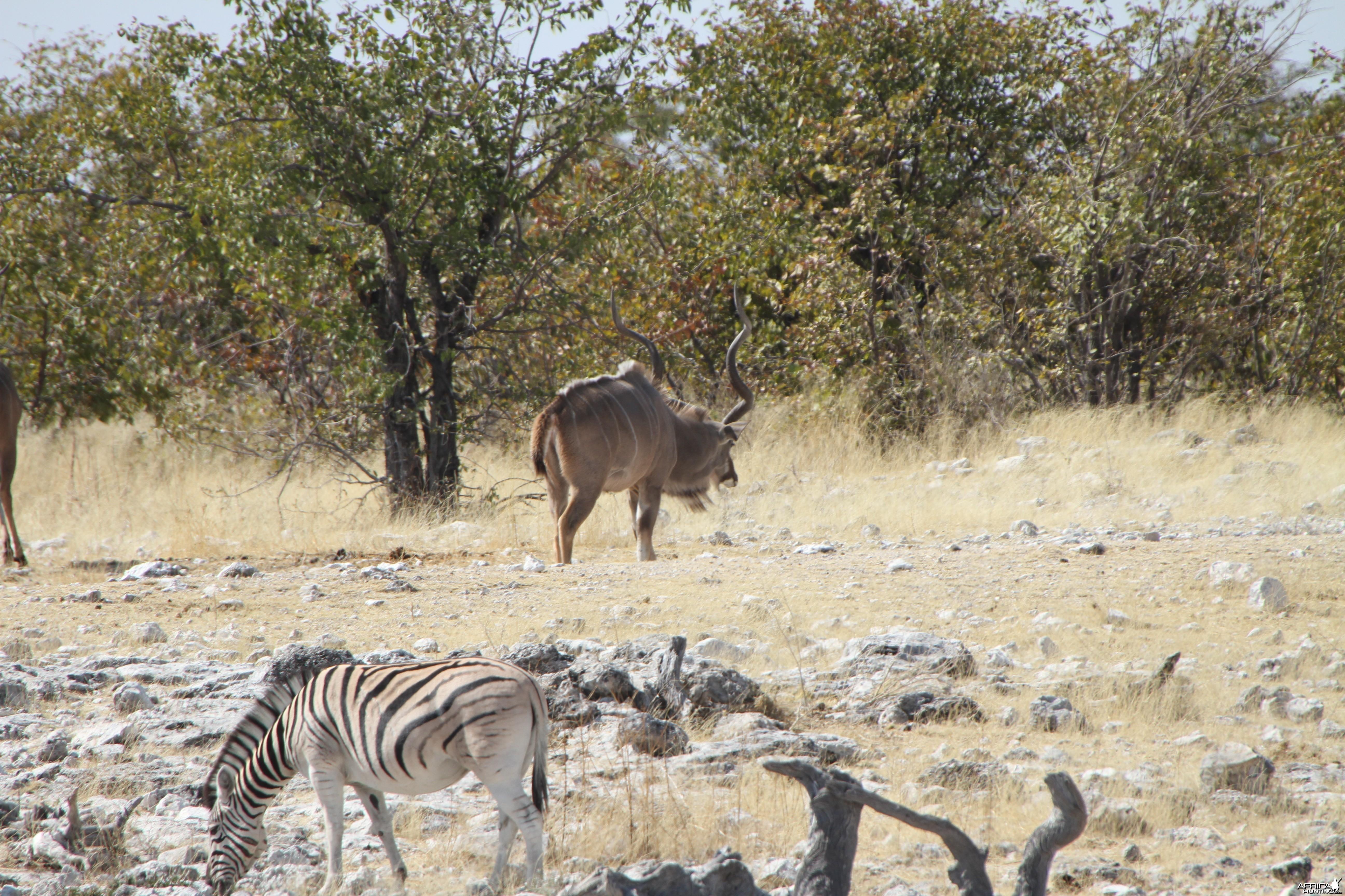 Greater Kudu at Etosha National Park