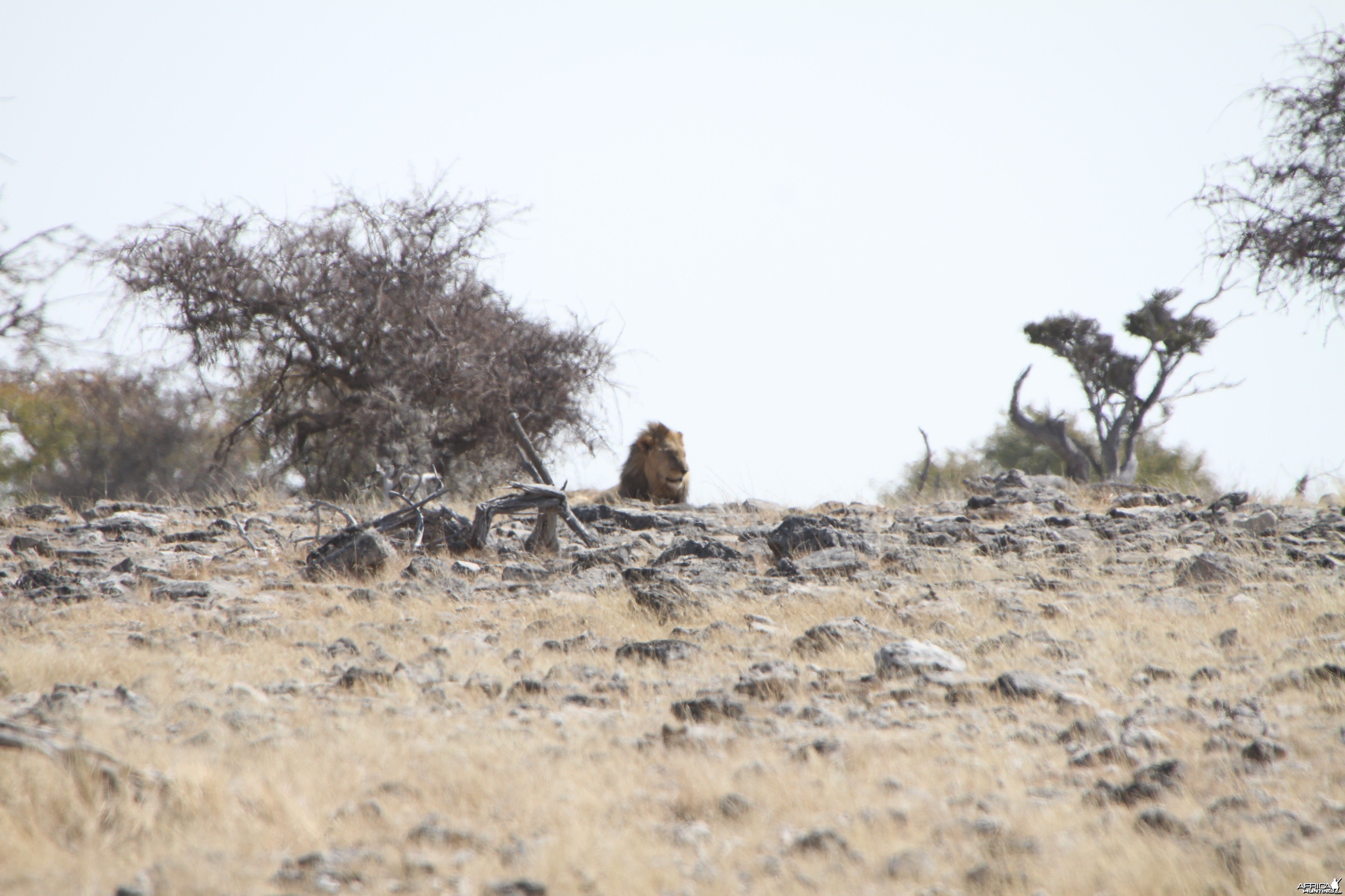 Lion at Elephant at Etosha National Park