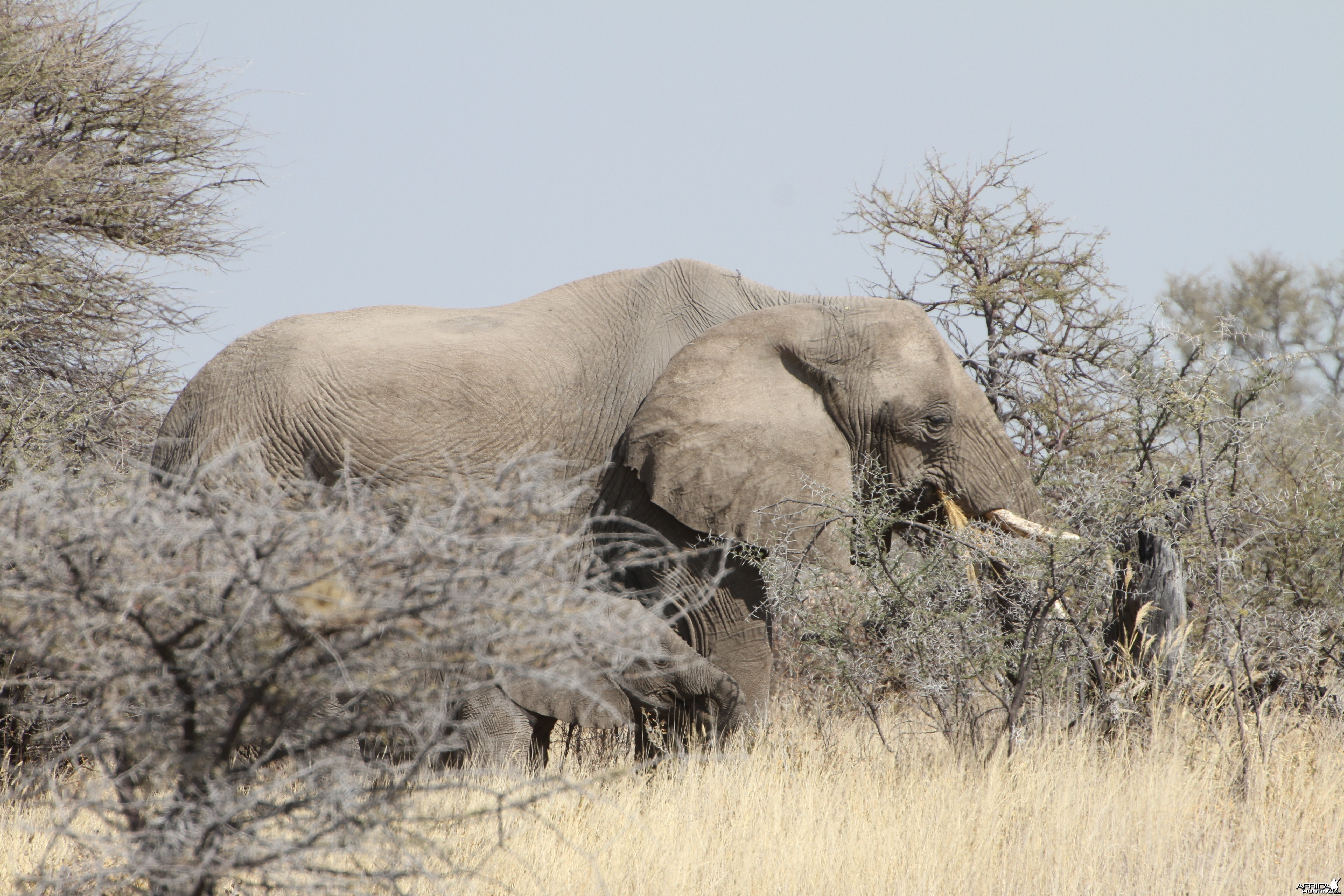 Elephant at Etosha National Park