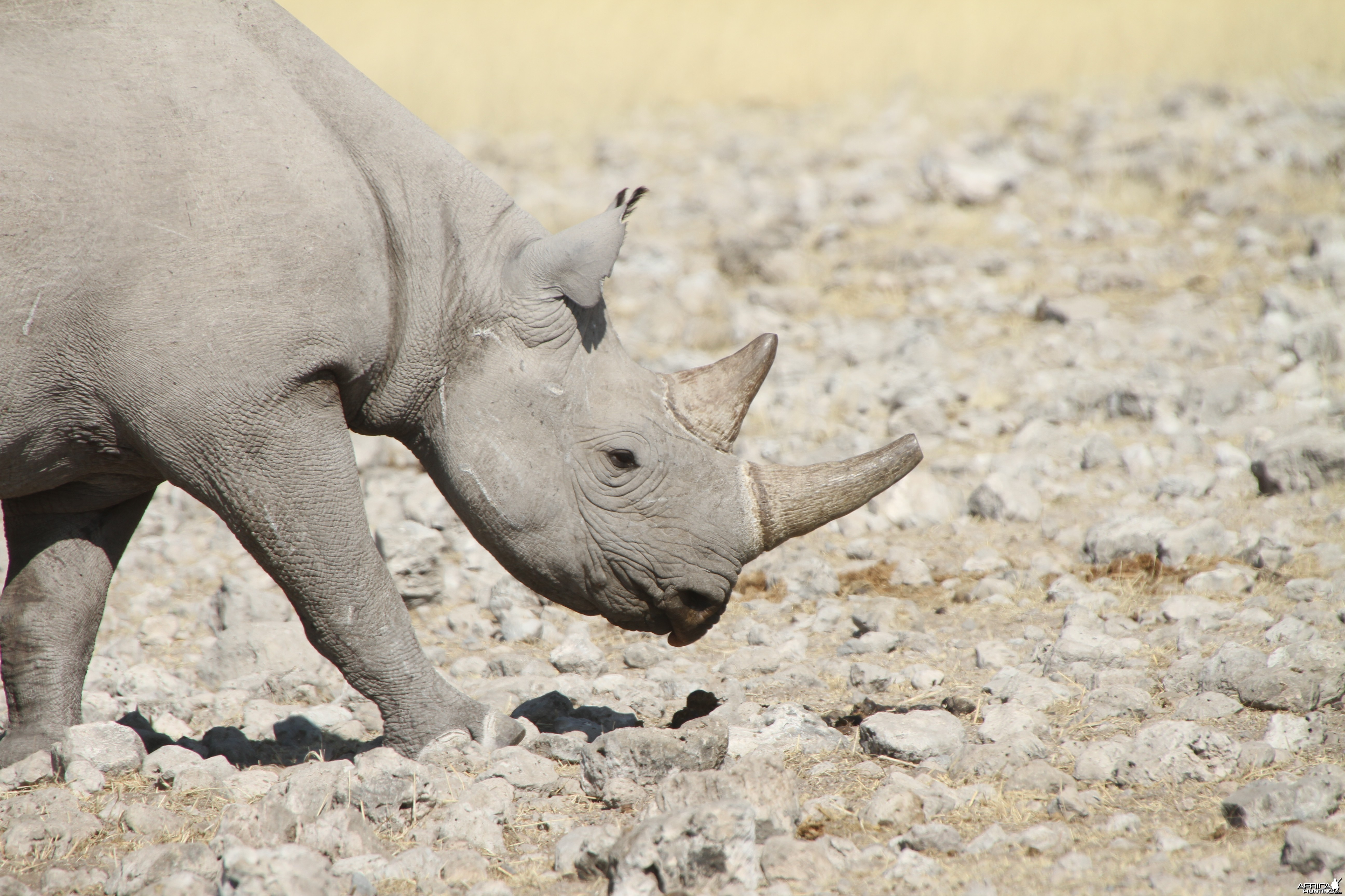 Black Rhino at Etosha National Park