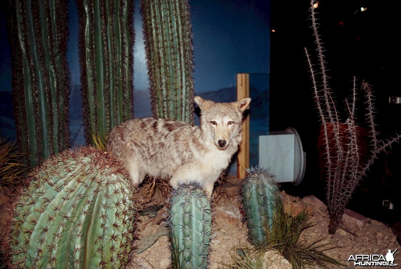 Coyote Mount