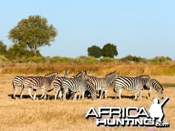 Herd of Burchell's Zebra (Plain Zebra)