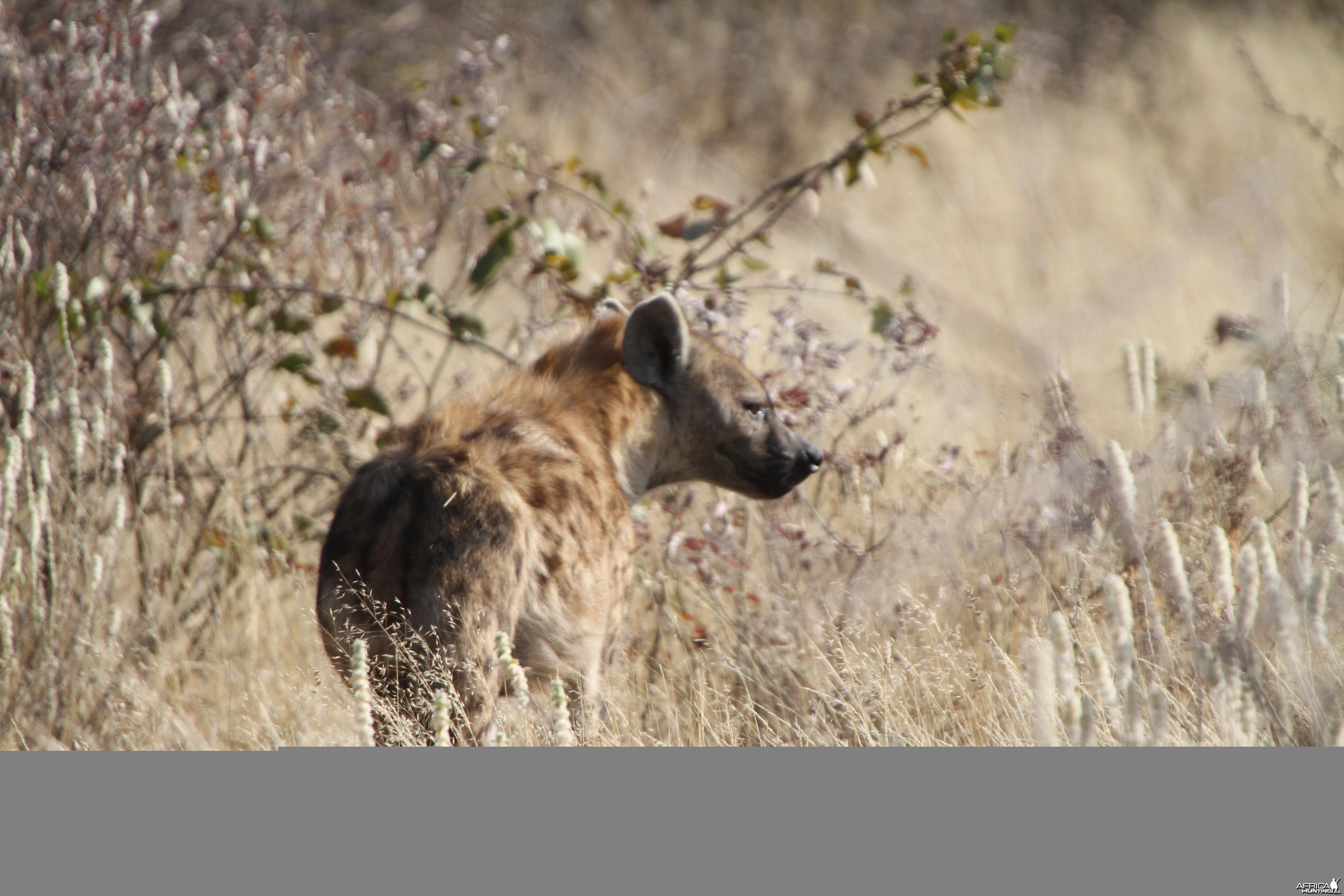 Spotted Hyena at Etosha National Park